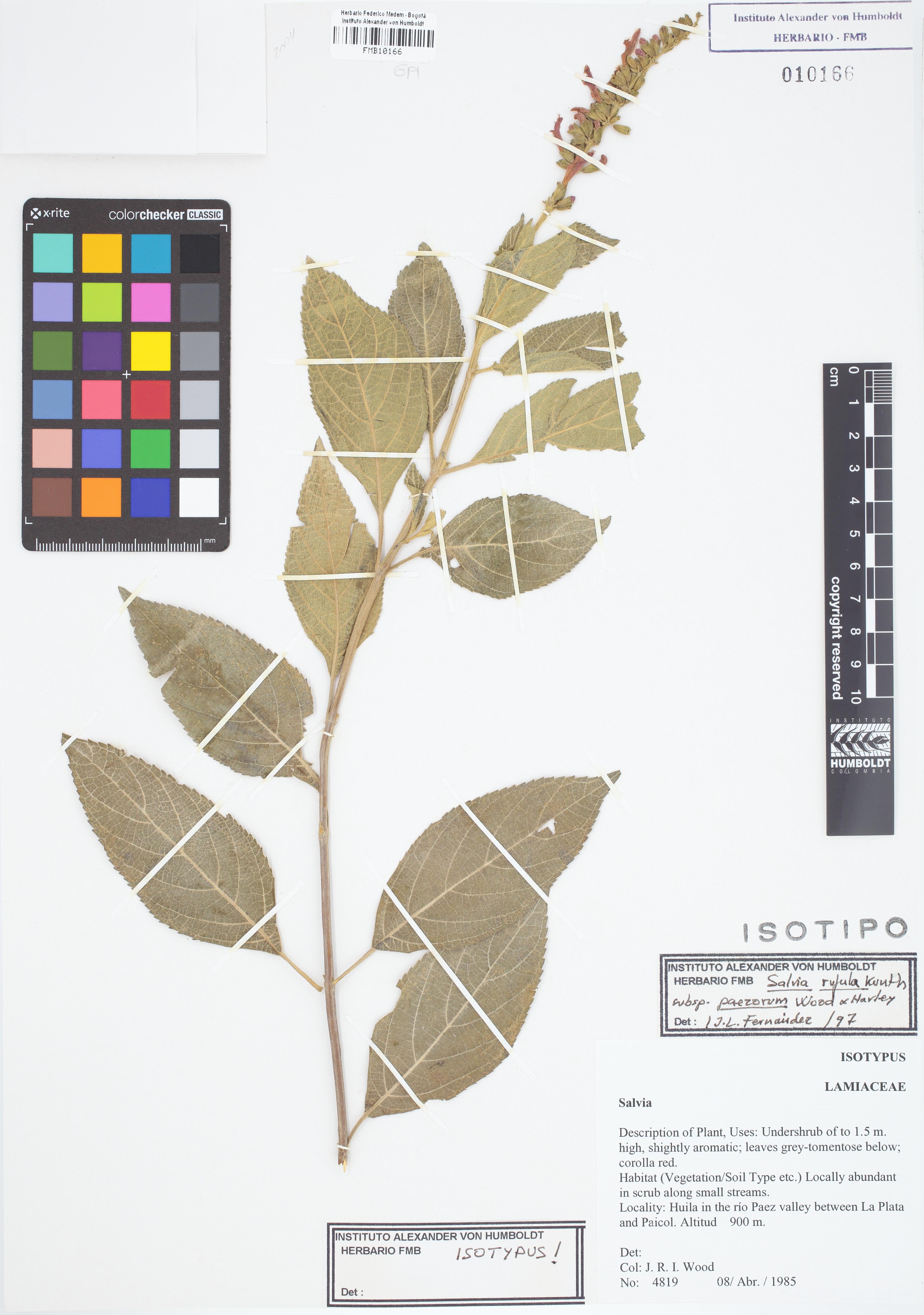 Isotipo de <em>Salvia rufula</em> subsp. <em>paezorum</em>, FMB-10166, Fotografía por Robles A.
