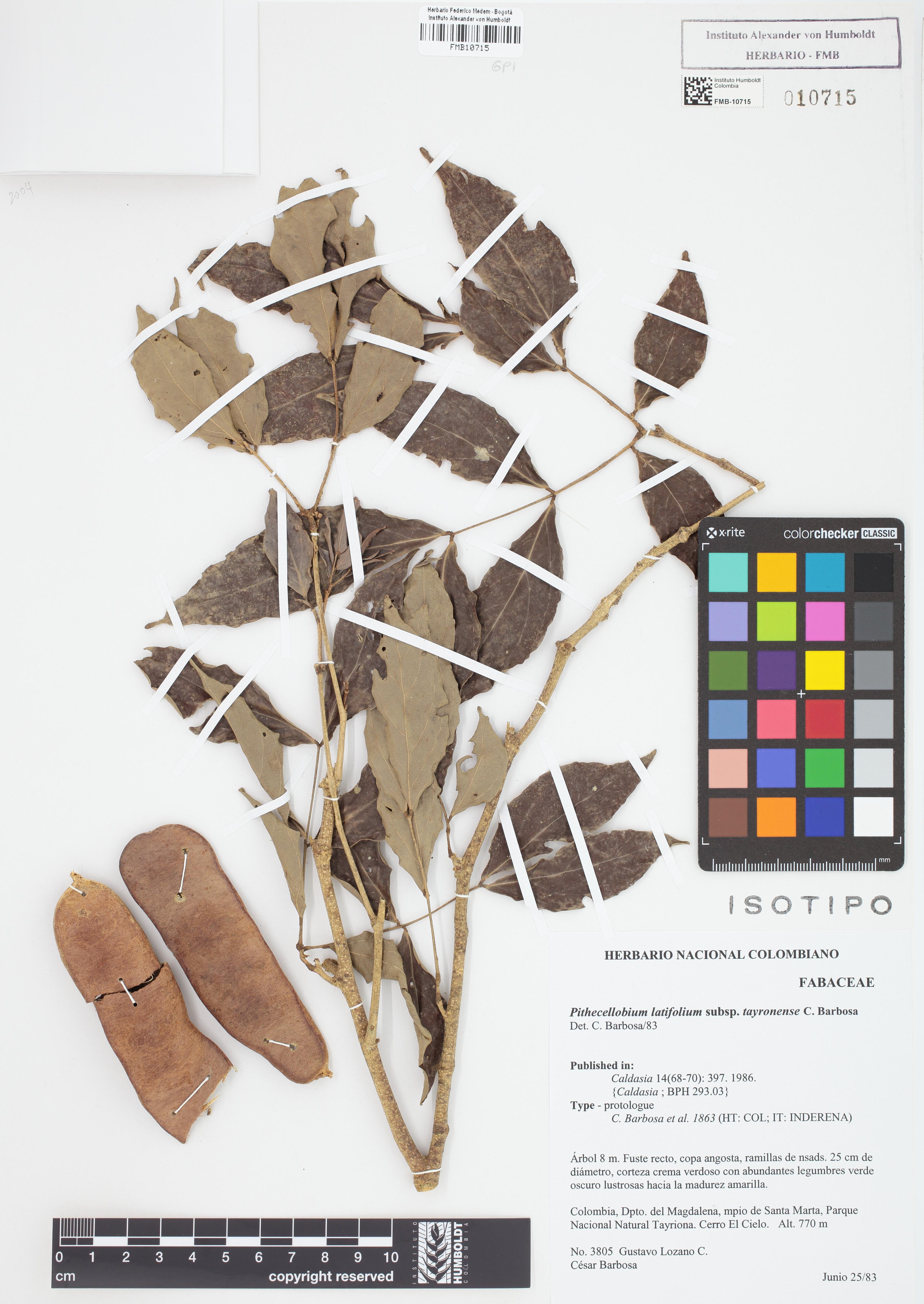 Isotipo de <em>Pithecellobium latifolium</em> subsp. <em>tayronense</em>, FMB-10715, Fotografía por Robles A.