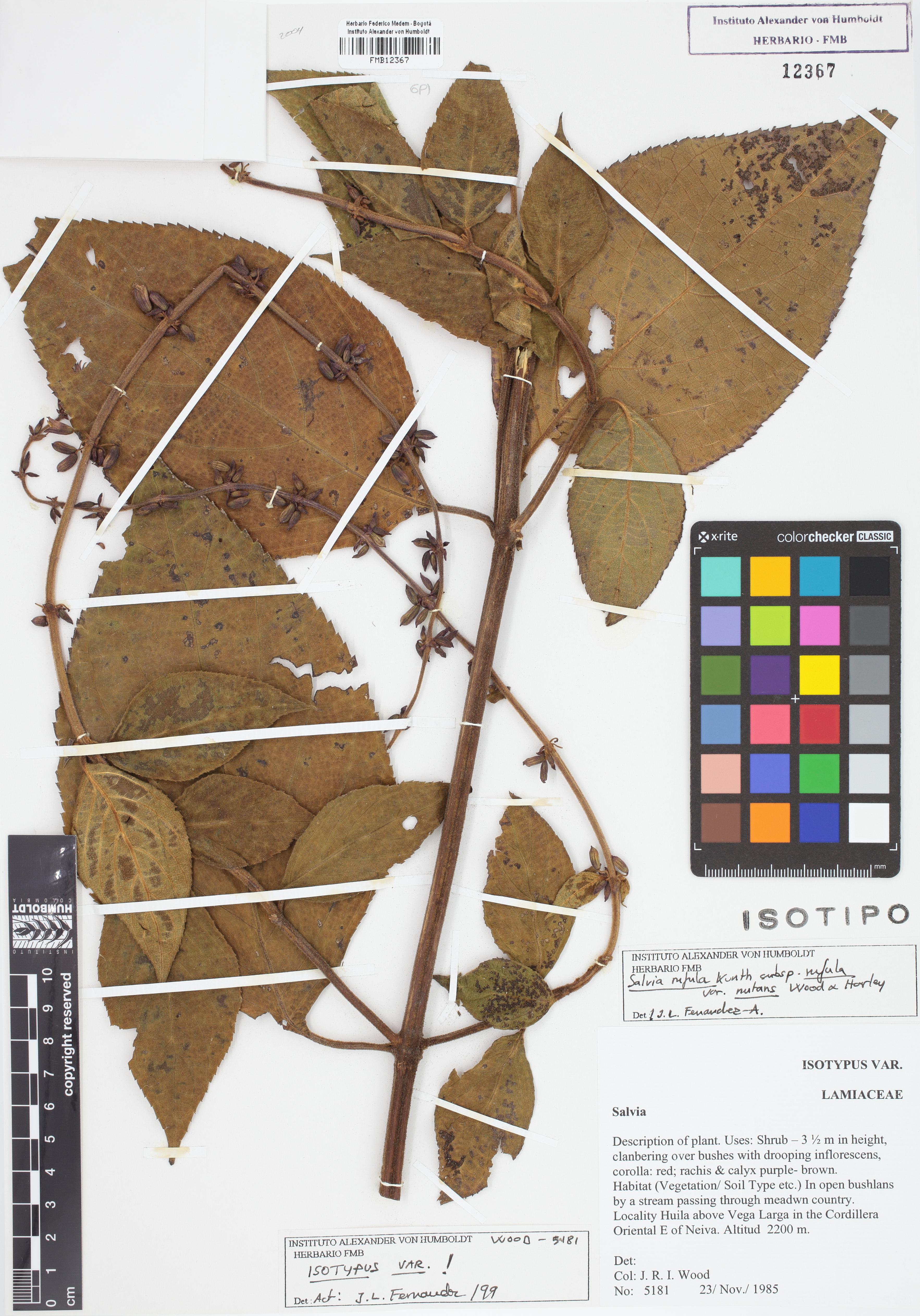 Isotipo de <em>Salvia rufula</em> var. <em>nutans</em>, FMB-12367, Fotografía por Robles A.
