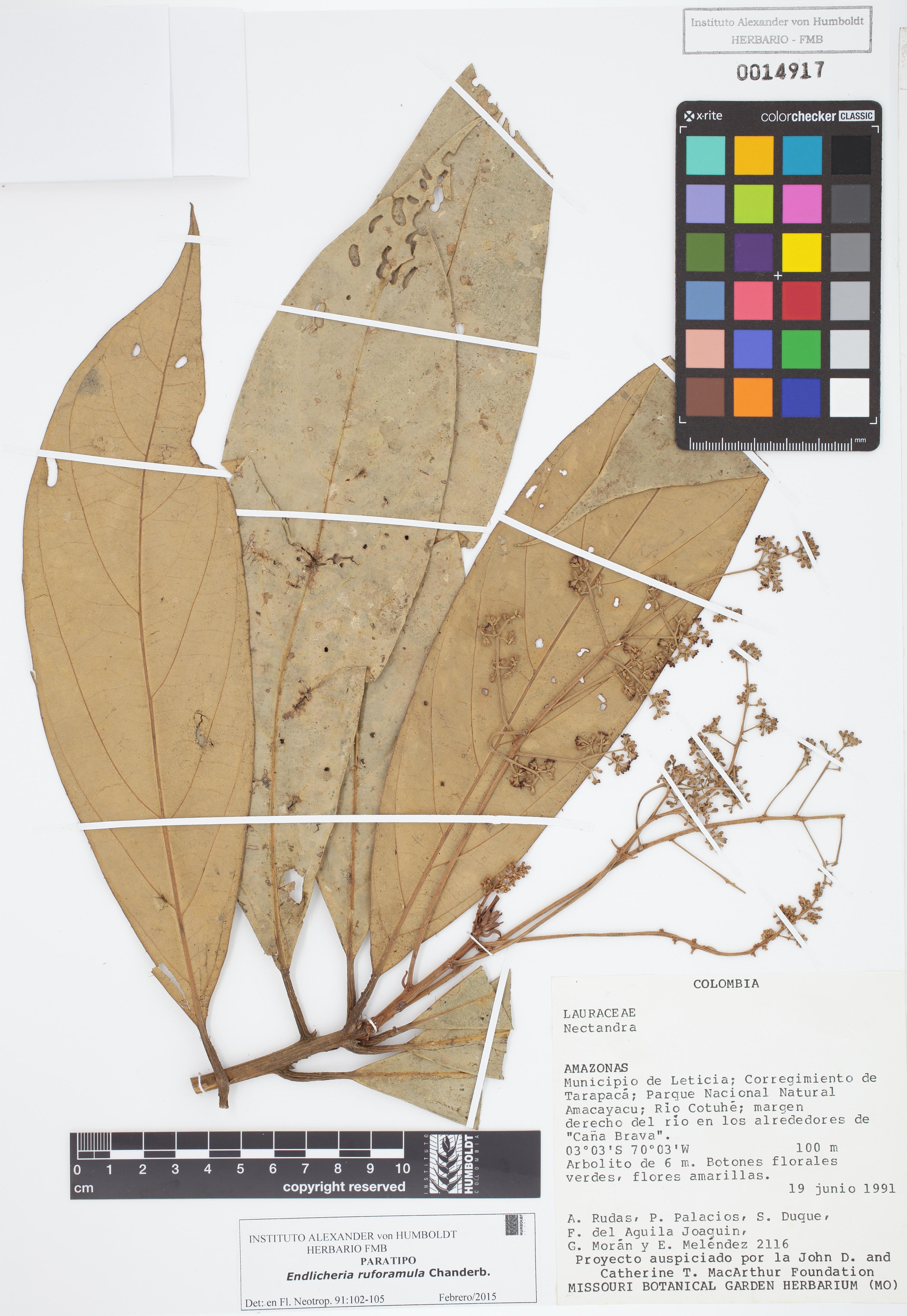 Paratipo de <em>Endlicheria ruforamula</em>, FMB-14917, Fotografía por Robles A.