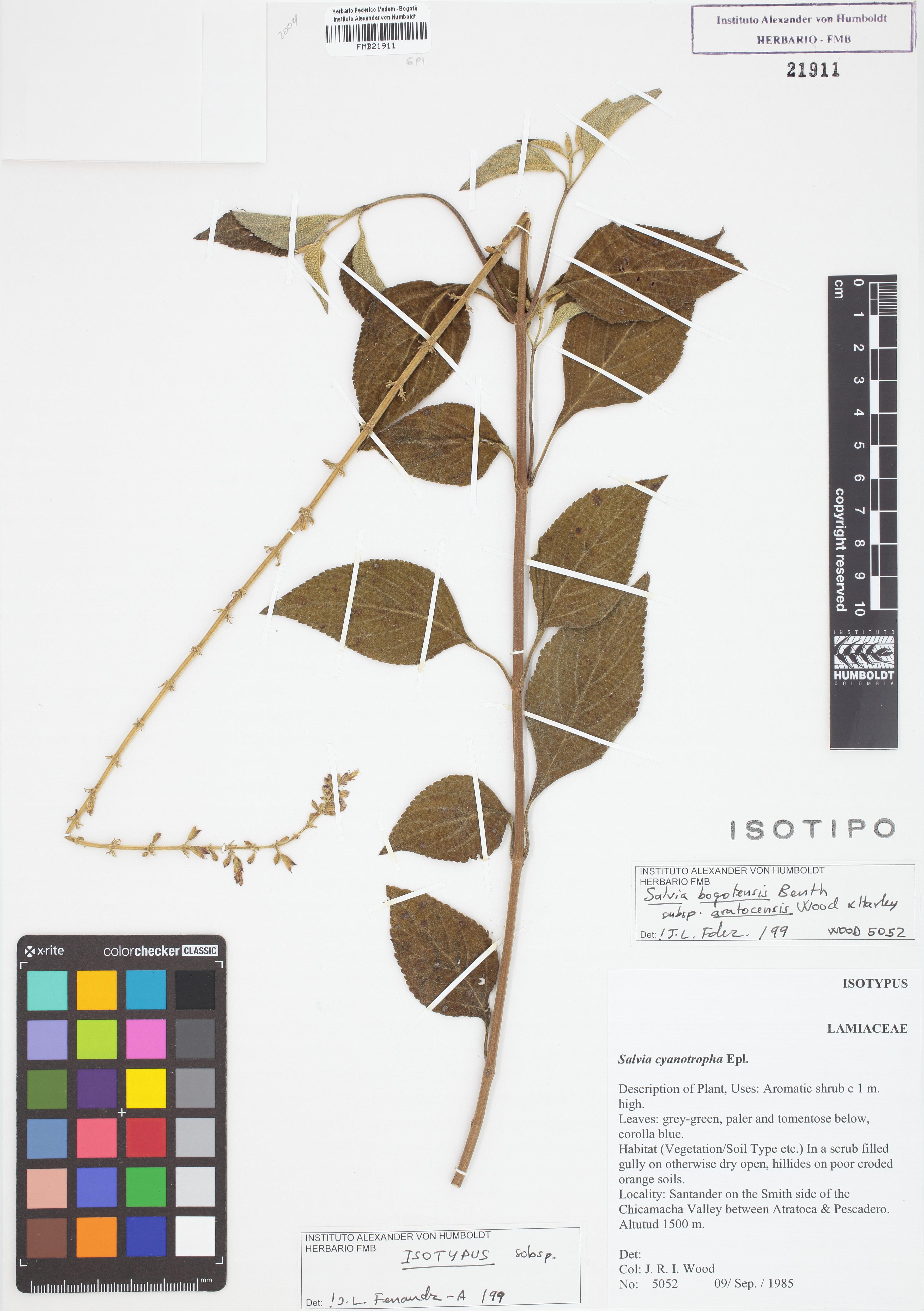 Isotipo de <em>Salvia bogotensis</em> subsp. <em>aratocensis</em>, FMB-21911, Fotografía por Robles A.