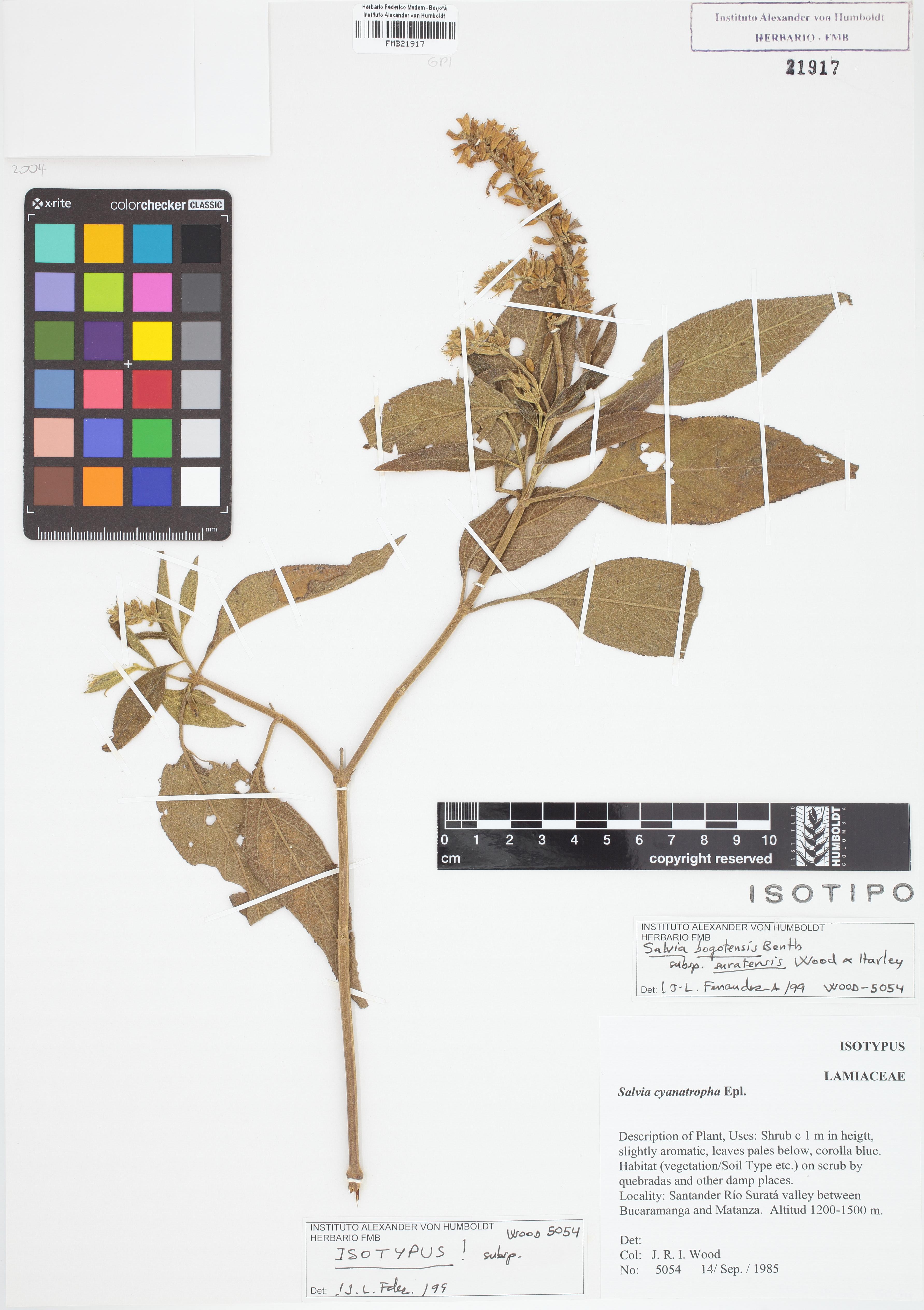 Isotipo de <em>Salvia bogotensis</em> subsp. <em>suratensis</em>, FMB-21917, Fotografía por Robles A.