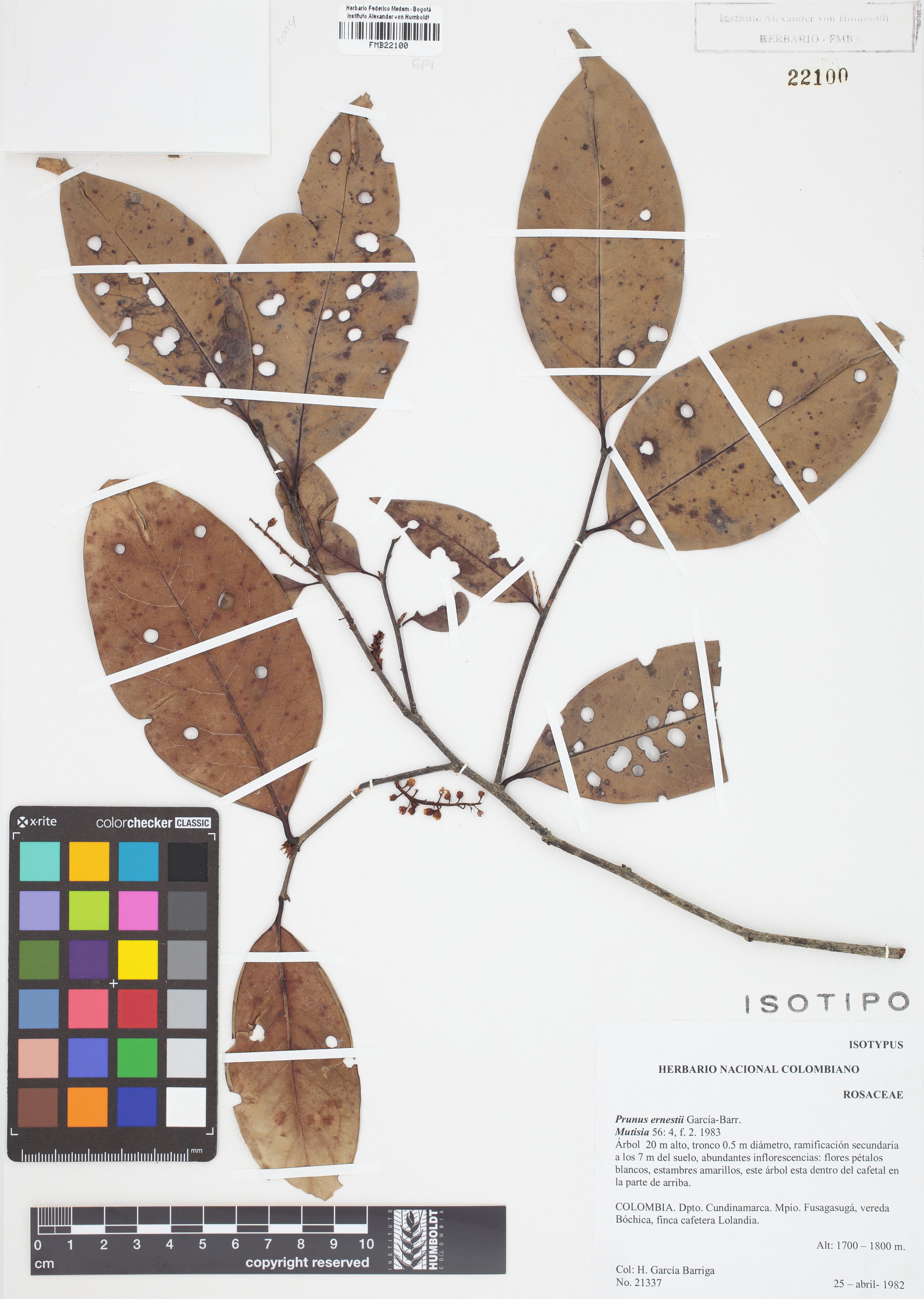 Isotipo de <em>Prunus ernestii</em>, FMB-22100, Fotografía por Robles A.