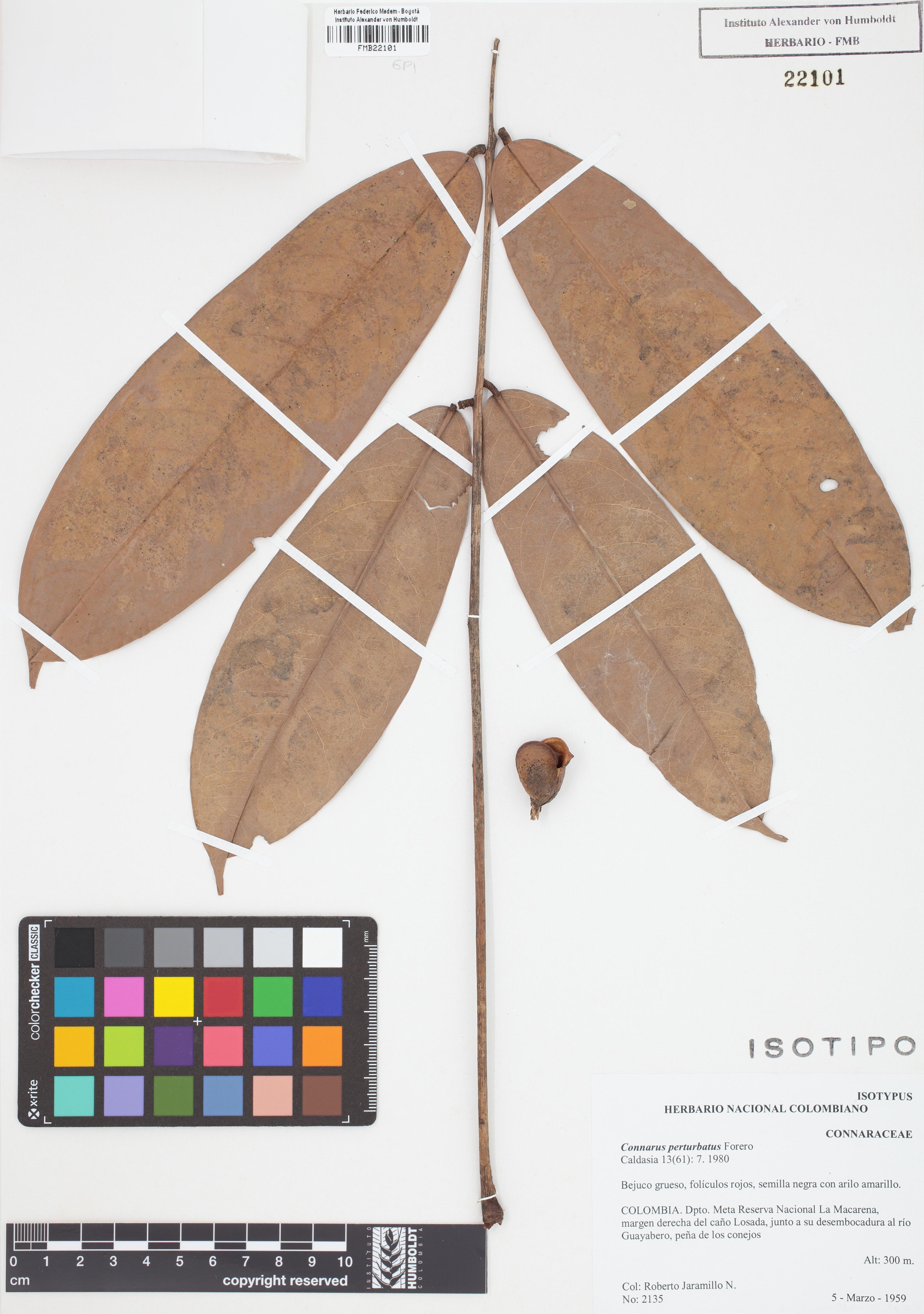 Isotipo de <em>Connarus perturbatus</em>, FMB-22101, Fotografía por Robles A.