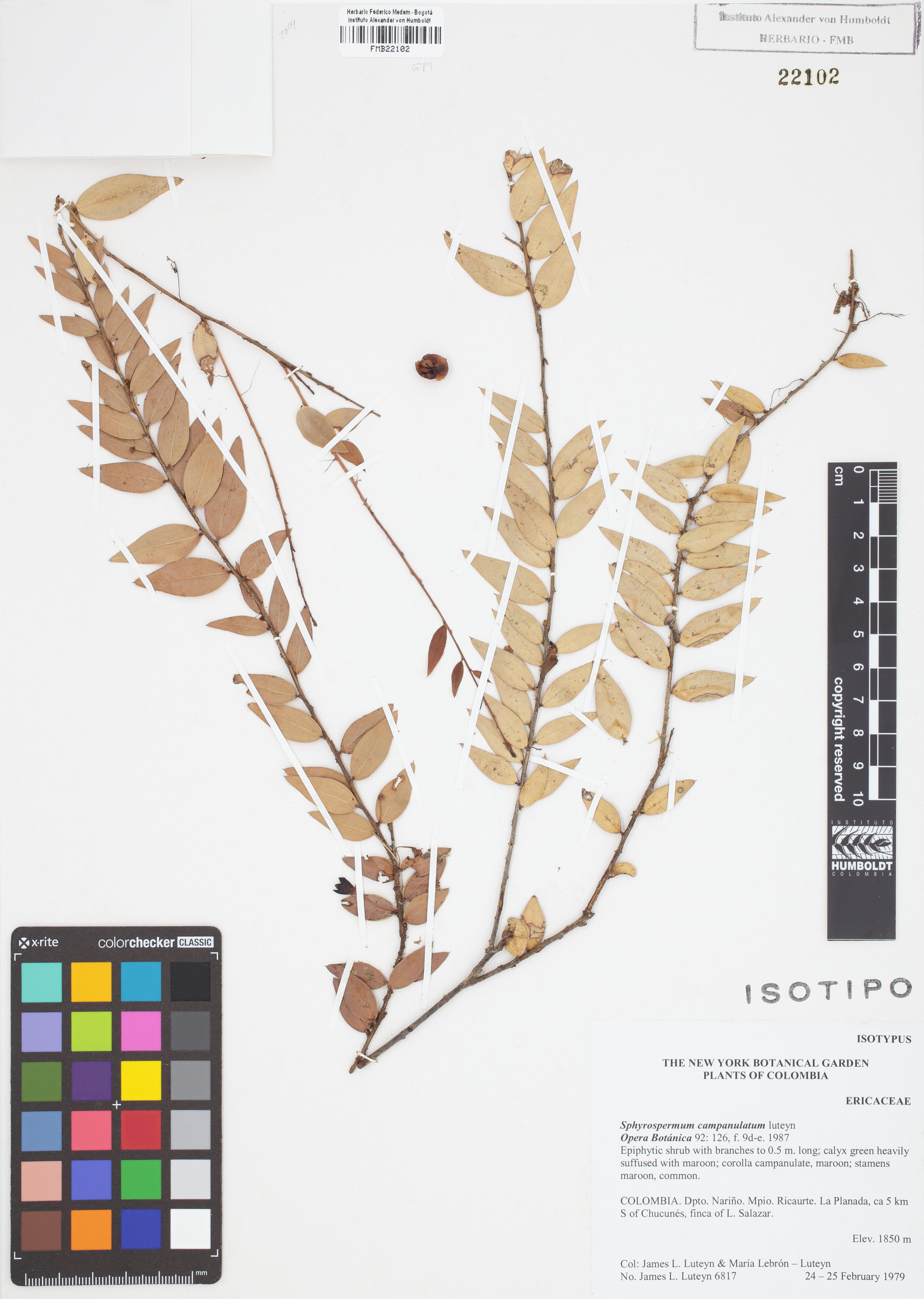 Isotipo de <em>Sphyrospermum campanulatum</em>, FMB-22102, Fotografía por Robles A.