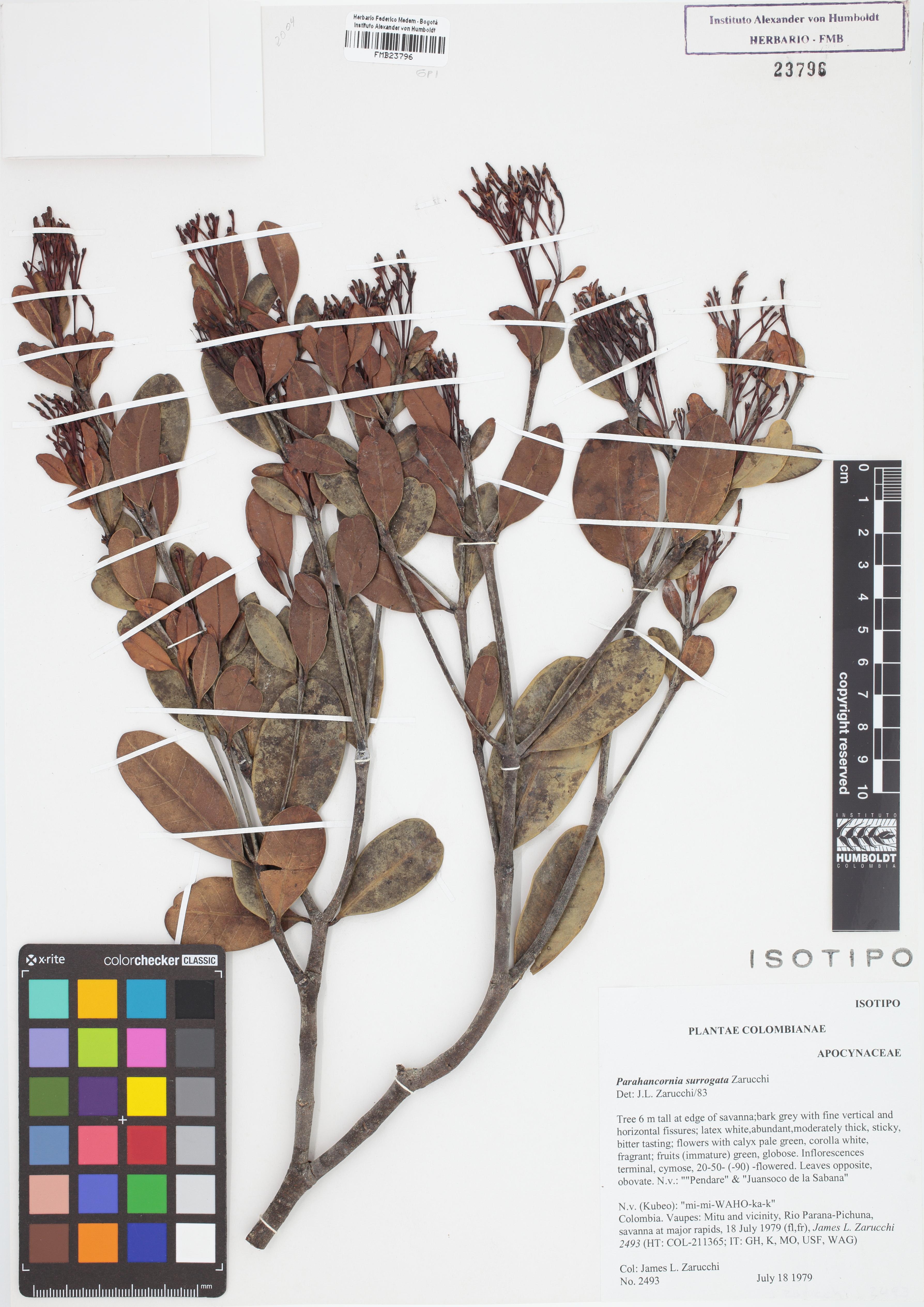Isotipo de <em>Parahancornia surrogata</em>, FMB-23796, Fotografía por Robles A.