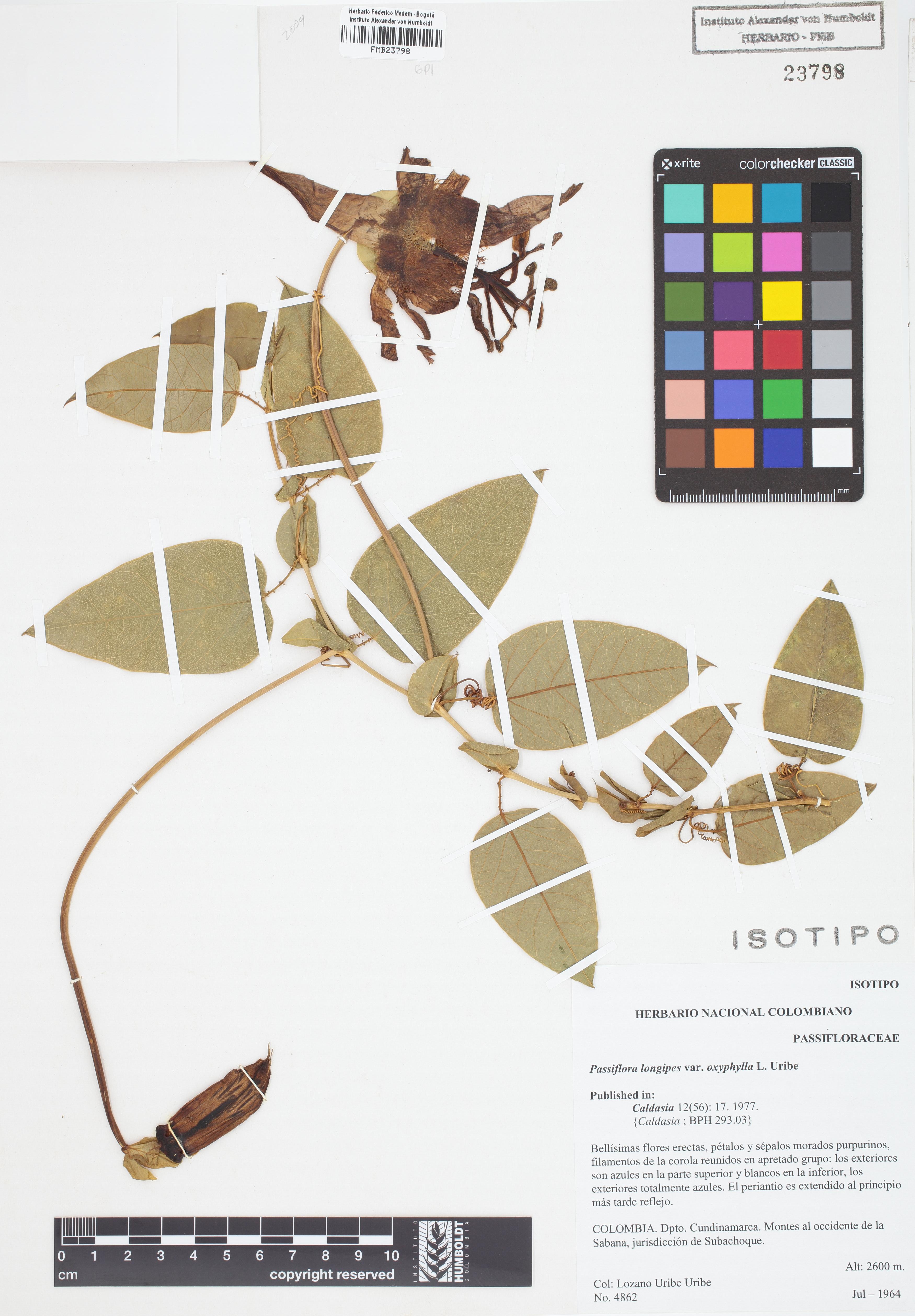 Isotipo de <em>Passiflora longipes</em> var. <em>oxyphylla</em>, FMB-23798, Fotografía por Robles A.