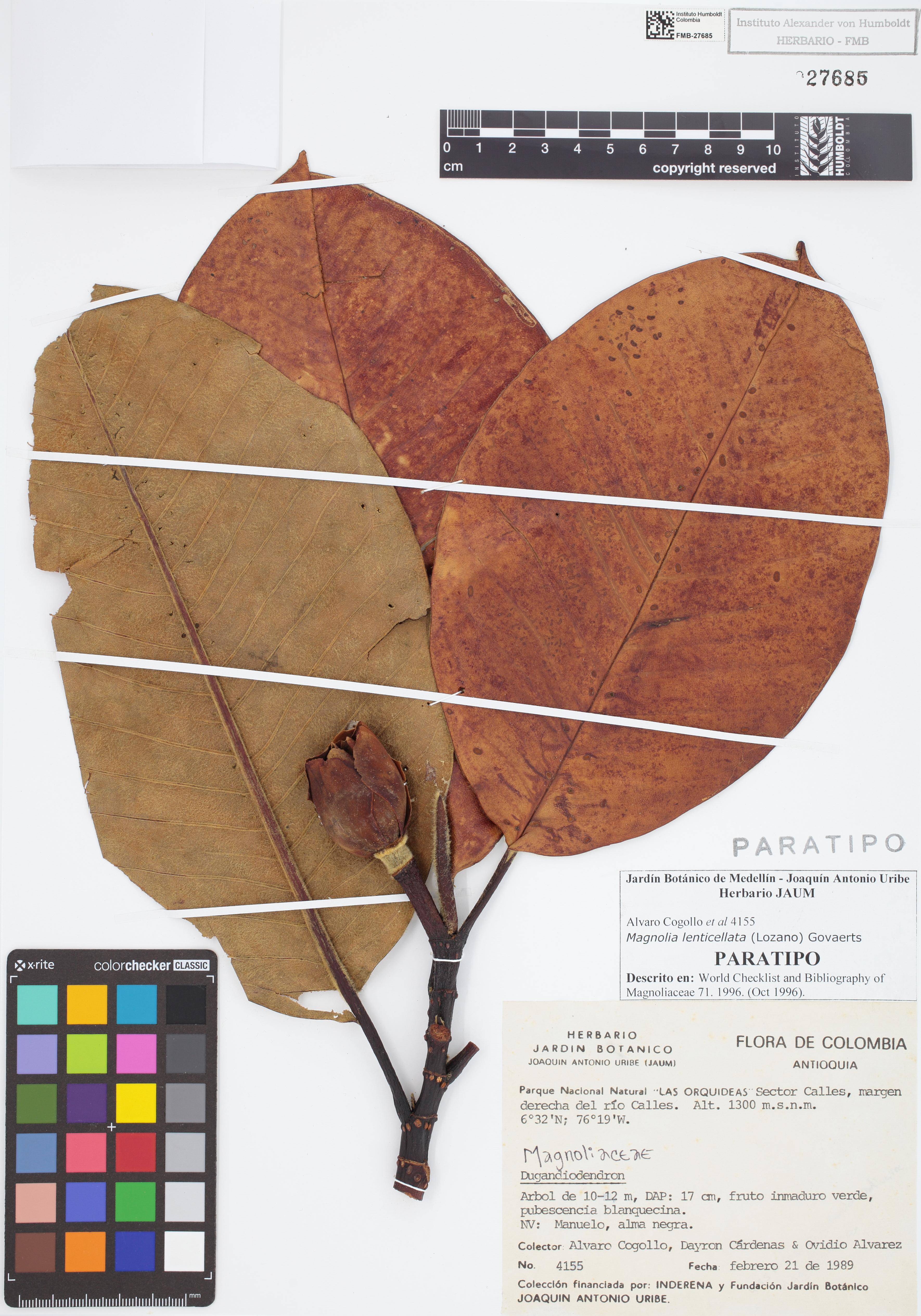 Paratipo de <em>Dugandiodendron lenticellatum</em>, FMB-27685, Fotografía por Robles A.