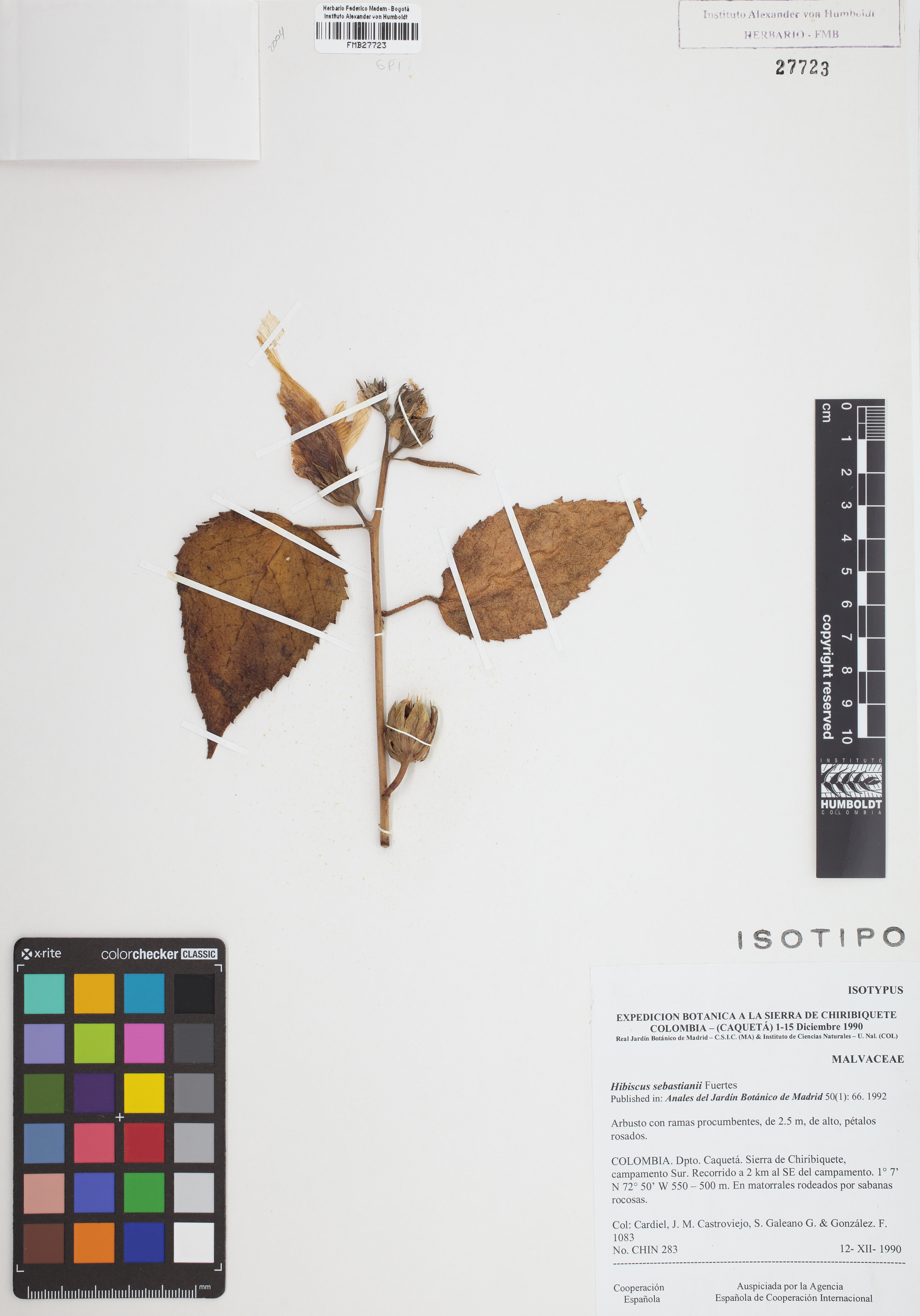 Isotipo de <em>Hibiscus sebastianii</em>, FMB-27723, Fotografía por Robles A.