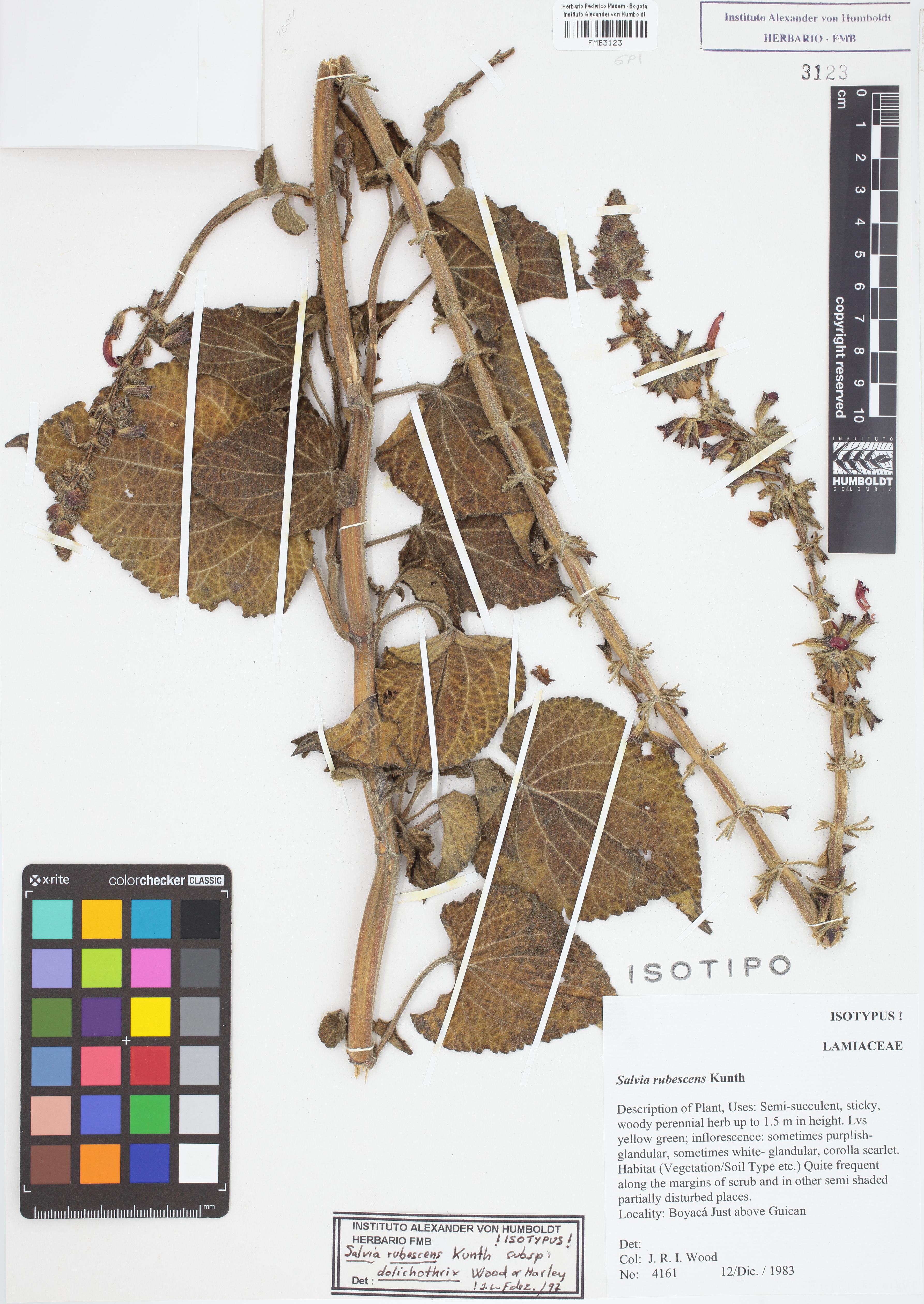 Isotipo de <em>Salvia rubescens</em> subsp. <em>dolichothrix</em>, FMB-3123, Fotografía por Robles A.