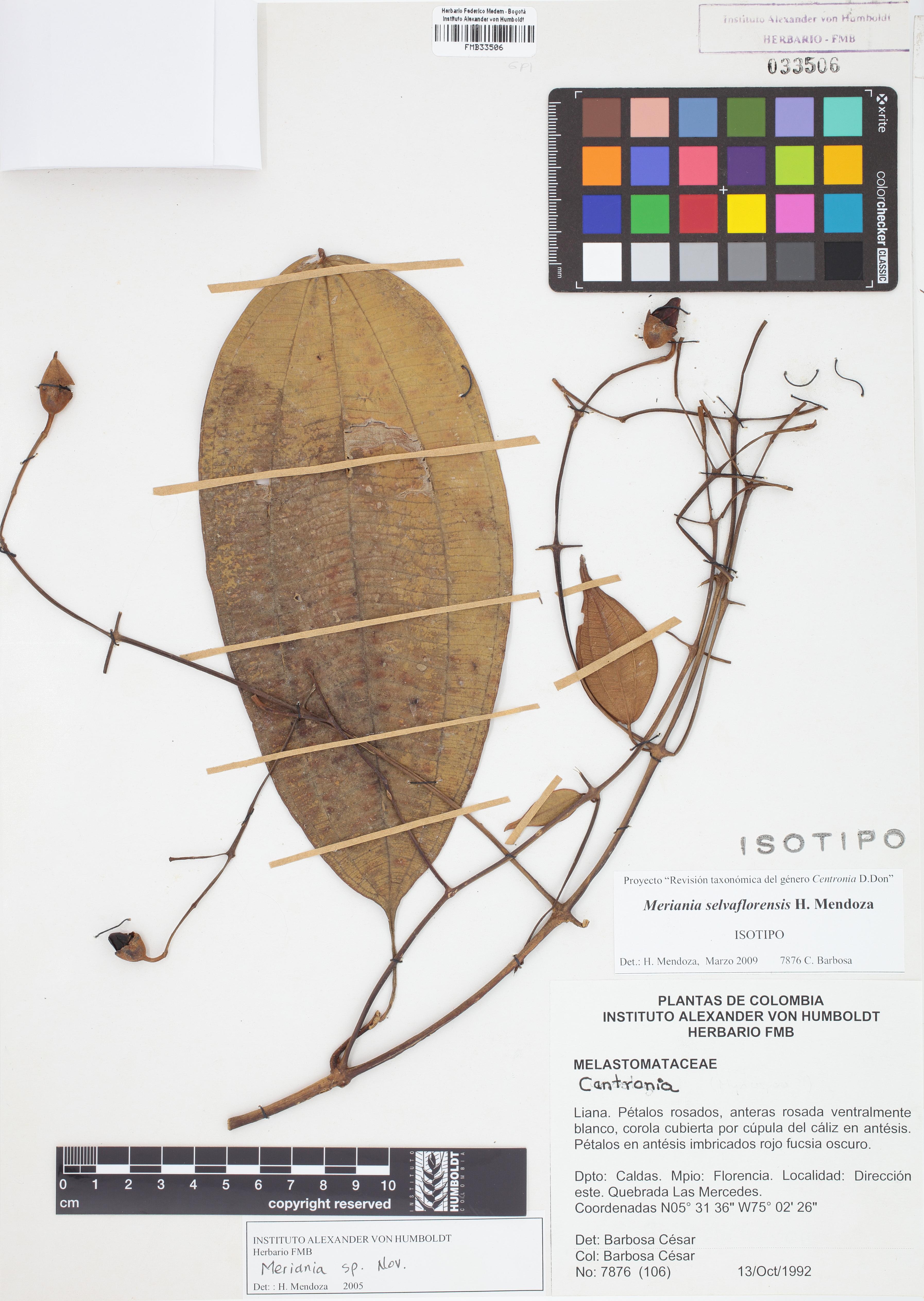 Isotipo de <em>Meriania selvaflorensis</em>, FMB-33506, Fotografía por Robles A.