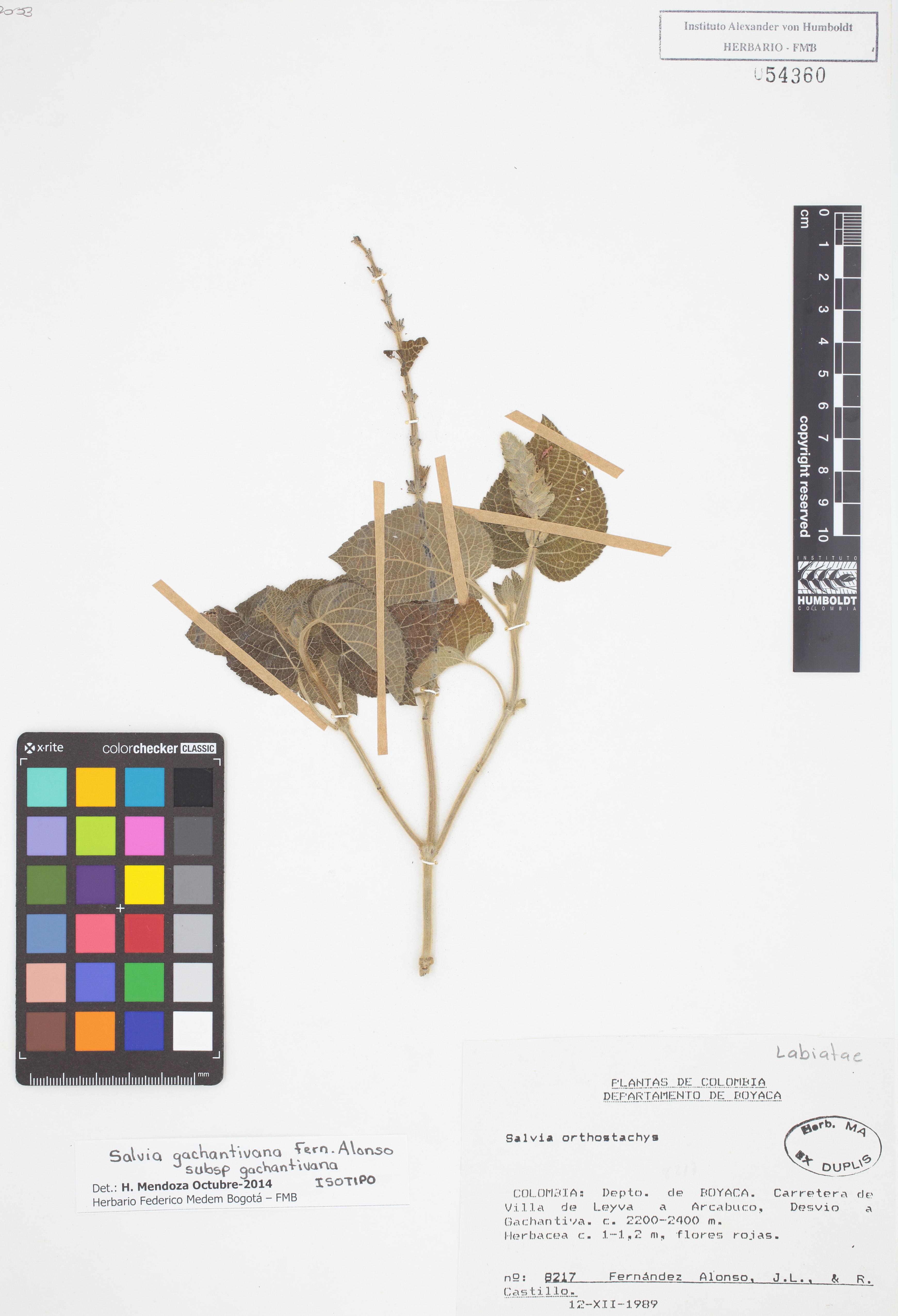 Isotipo de <em>Salvia gachantivana</em> subsp. <em>gachantivana</em>, FMB-54360, Fotografía por Robles A.
