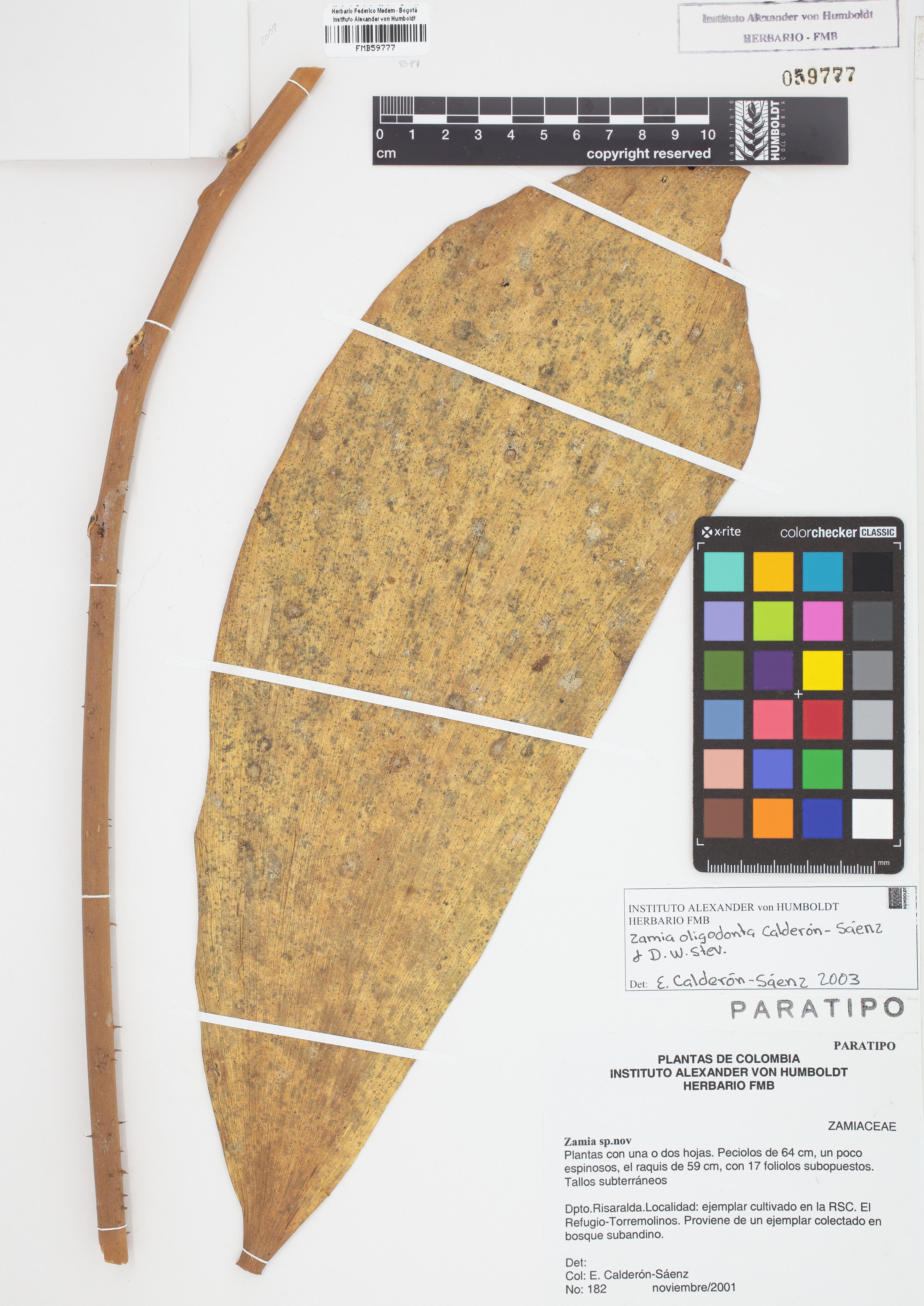 Paratipo de <em>Zamia oligodonta</em>, FMB-59777, Fotografía por Robles A.