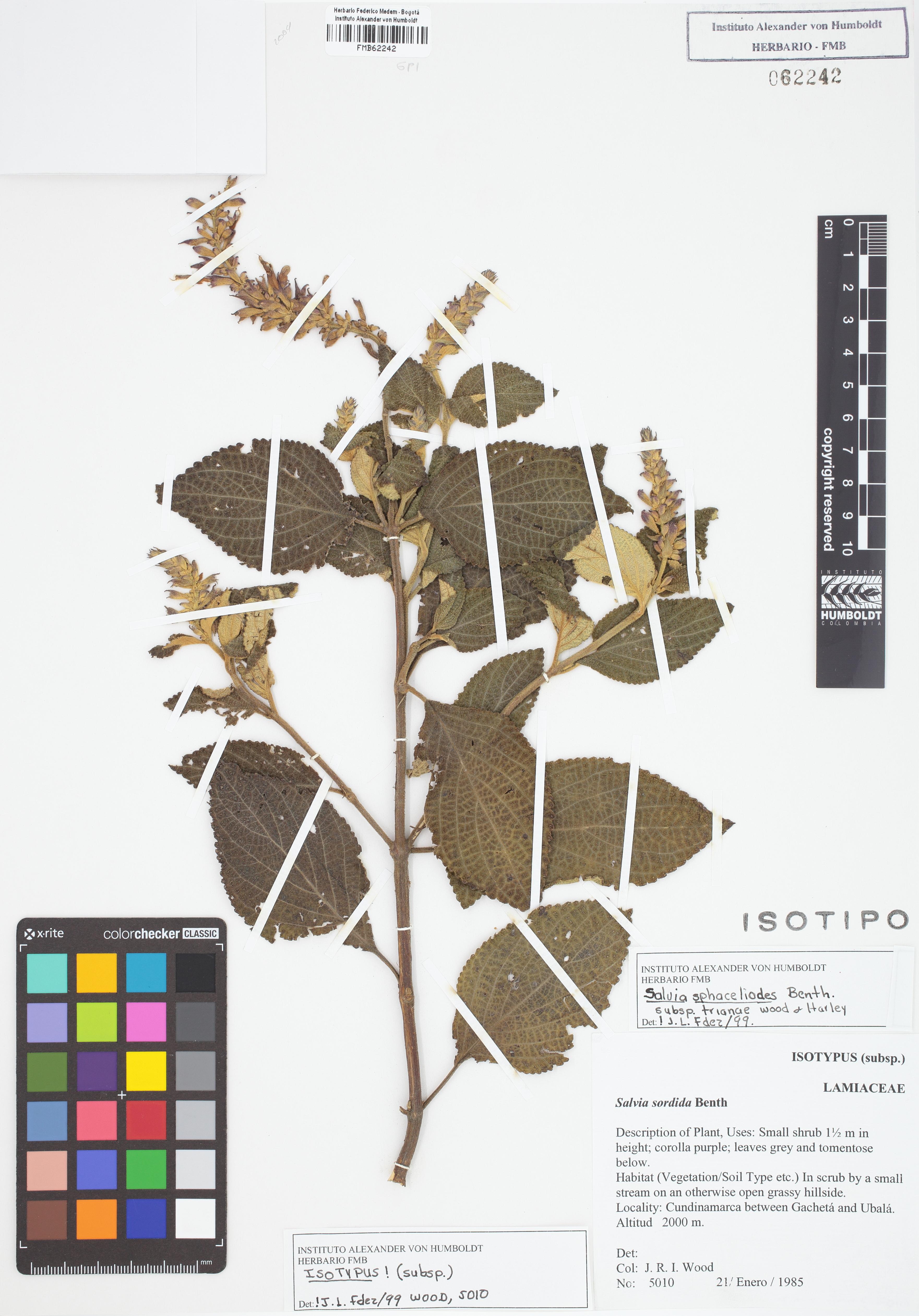 Isotipo de <em>Salvia sphacelioides</em> subsp. <em>trianae</em>, FMB-62242, Fotografía por Robles A.