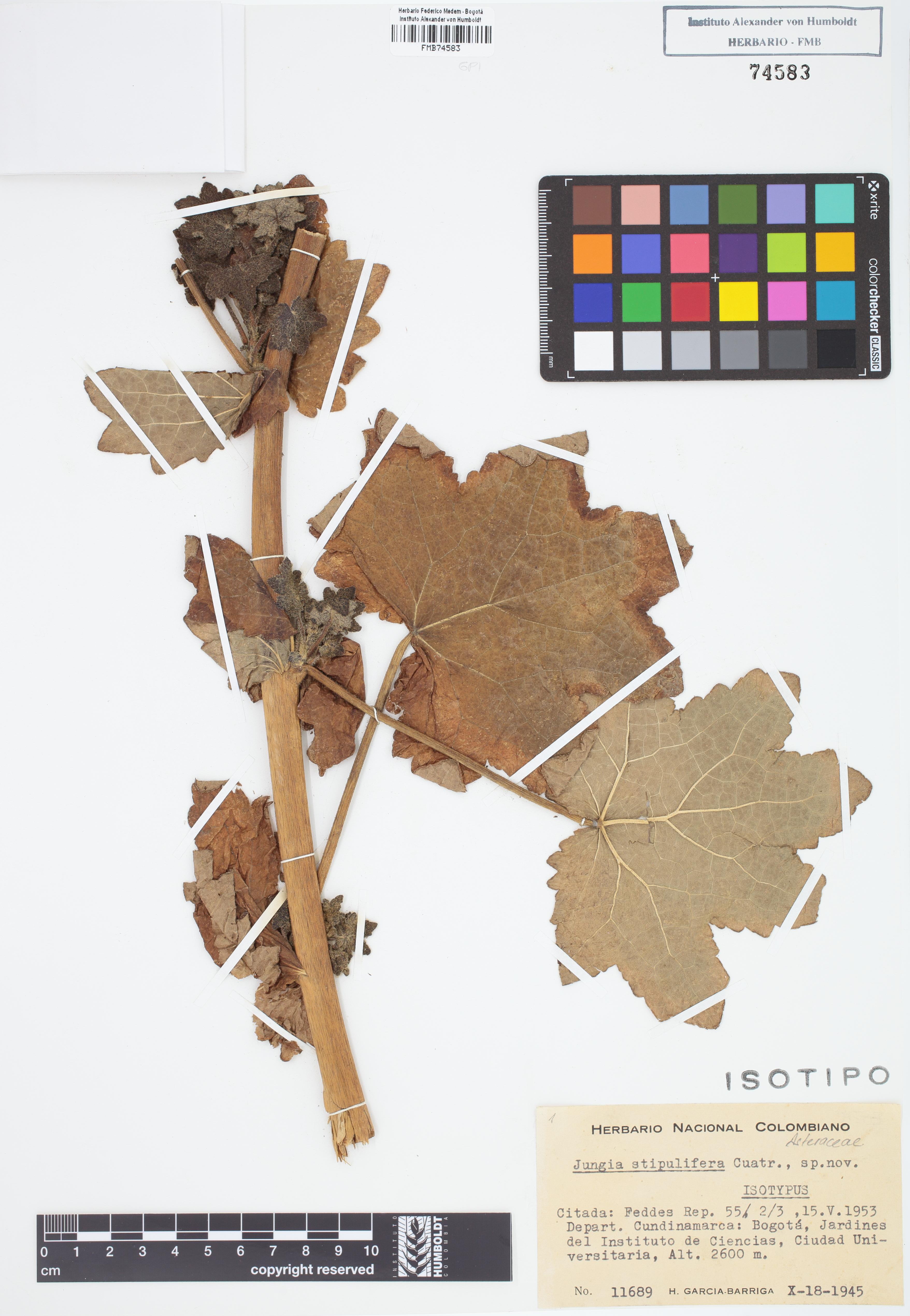 Isotipo de <em>Jungia stipulifera</em>, FMB-74583, Fotografía por Robles A.