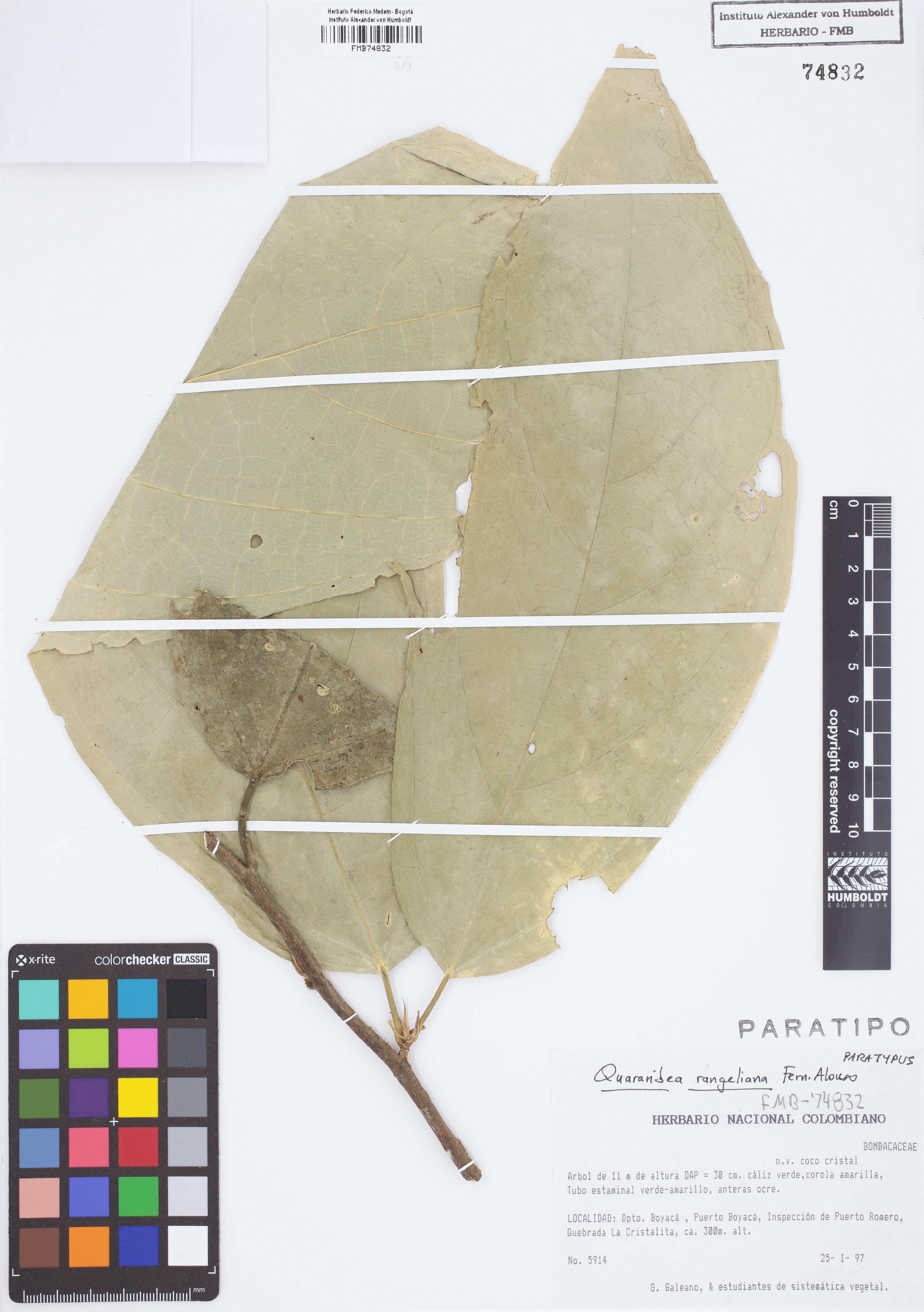 Paratipo de <em>Quararibea rangelii</em>, FMB-74832, Fotografía por Robles A.