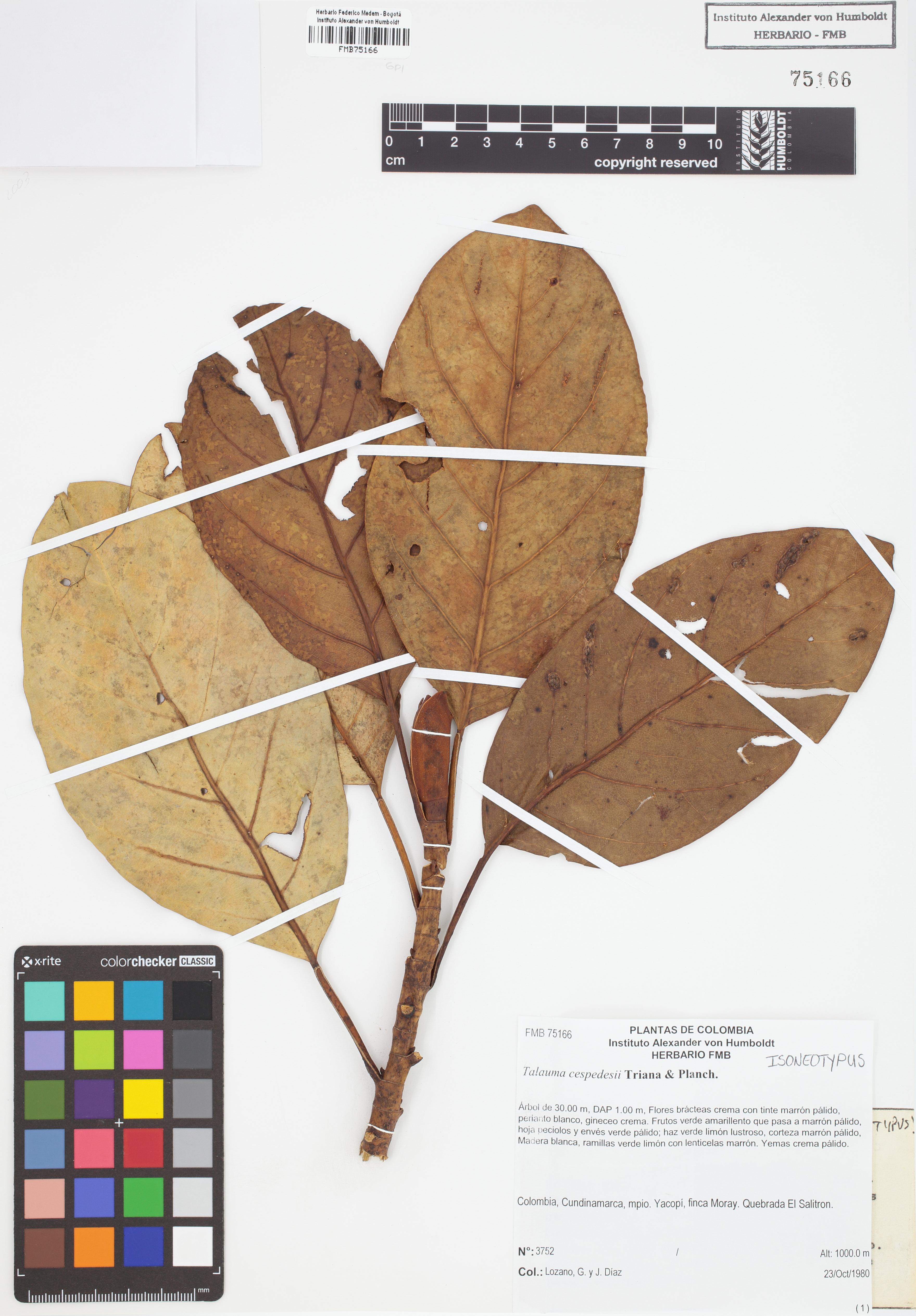 Isoneotipo de <em>Talauma cespedesii</em>, FMB-75166, Fotografía por Robles A.