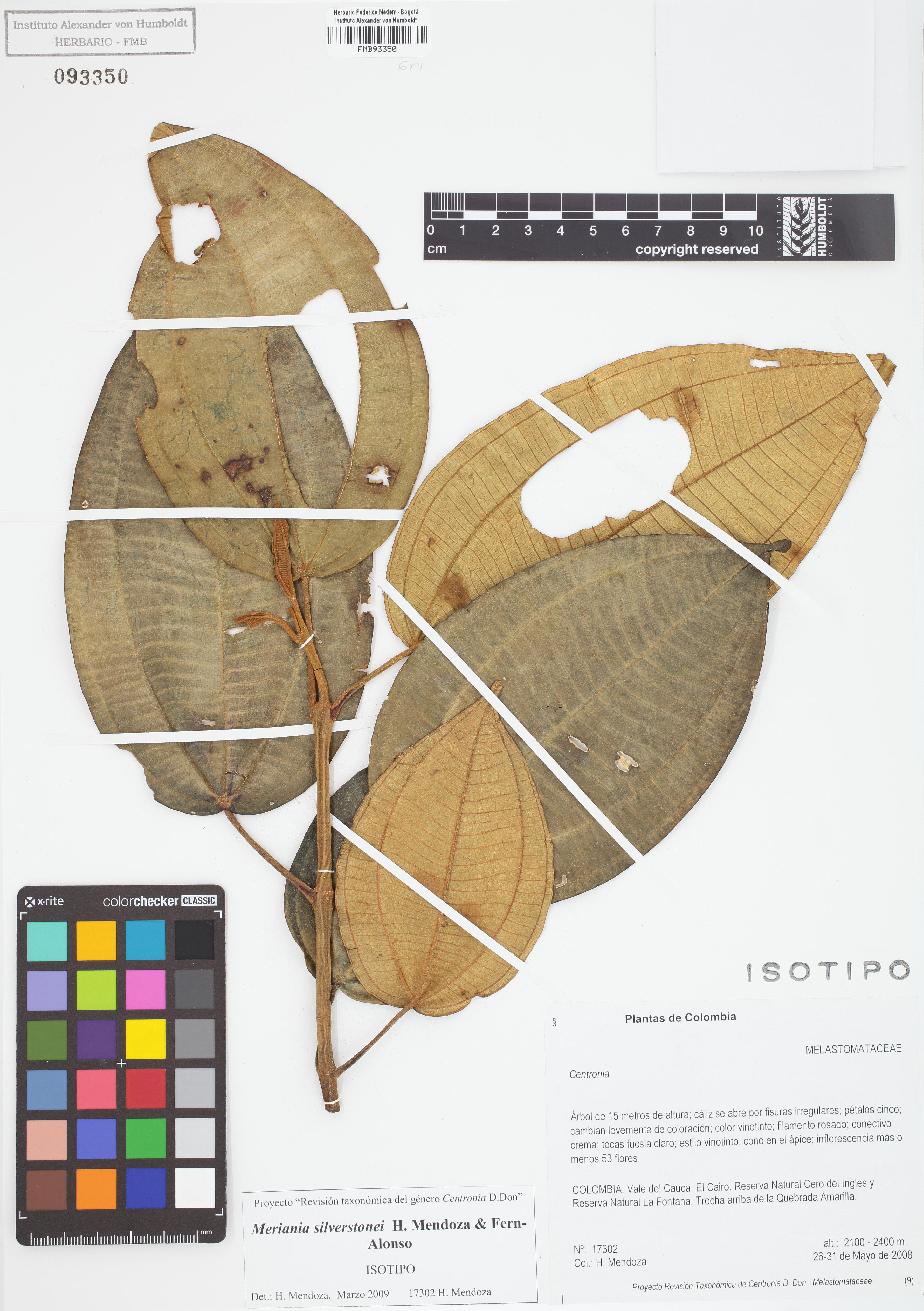 Isotipo de <em>Meriania silverstonei</em>, FMB-93350, Fotografía por Robles A.