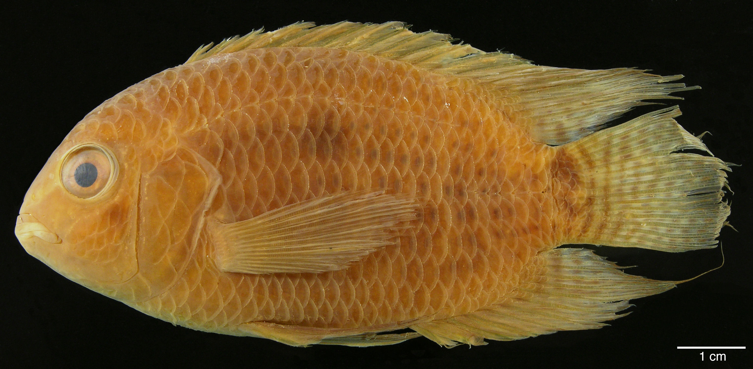 Paratípo de <em>Cichlasoma orinocense</em>, IAvH-P-10561_Lateral, 82.2 mm SL (scale bar = 1 cm). Photograph by M. H. Sabaj Pérez