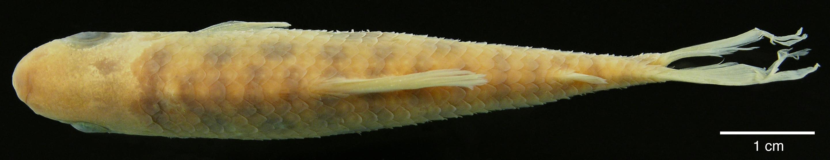 Paratípo de <em>Leporinus boehlkei</em>, IAvH-P-10562_Dorsal, 70.2 mm SL (scale bar = 1 cm). Photograph by M. H. Sabaj Pérez