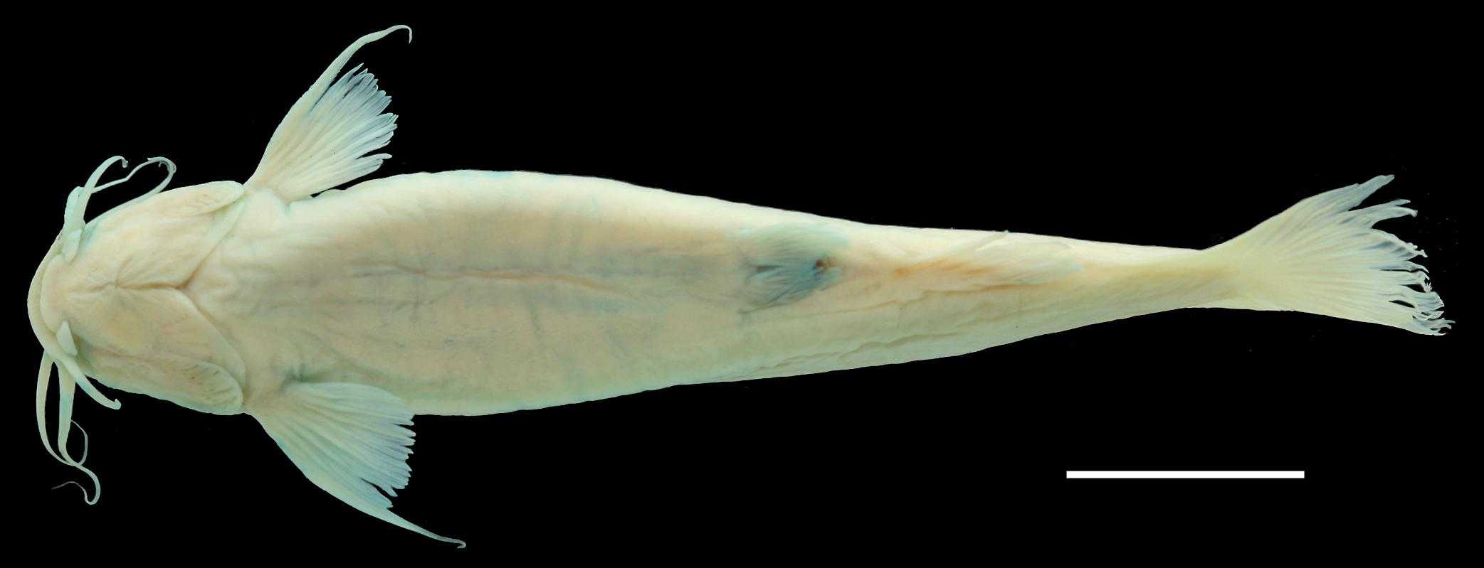 Paratípo de <em>Trichomycterus uisae</em>, IAvH-P-10806_Ventral, 50.1 mm SL (scale bar = 1 cm). Photograph by C. DoNascimiento