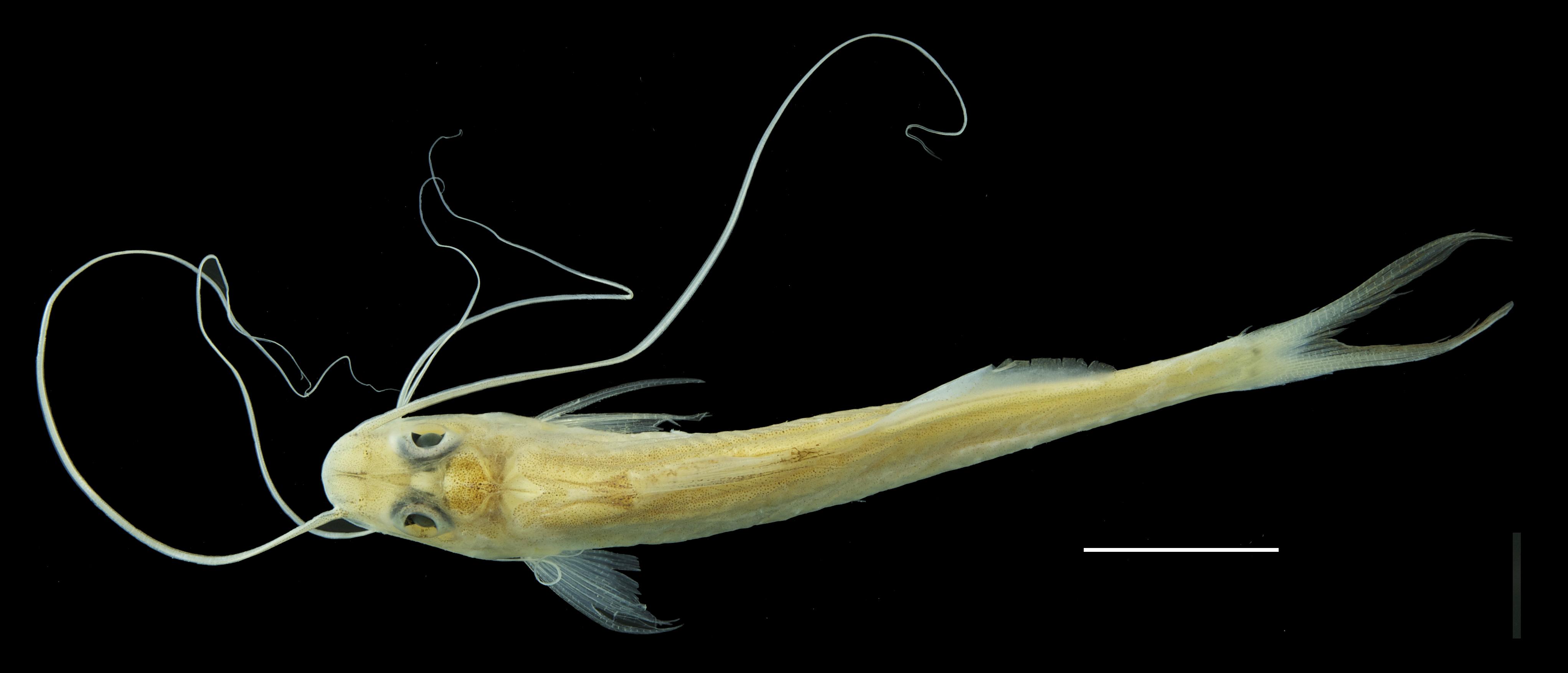 Paratípo de <em>Megalonema amaxanthum</em>, IAvH-P-11020_Dorsal, 54.0 mm SL (scale bar = 1 cm). Photograph by M. H. Sabaj Pérez