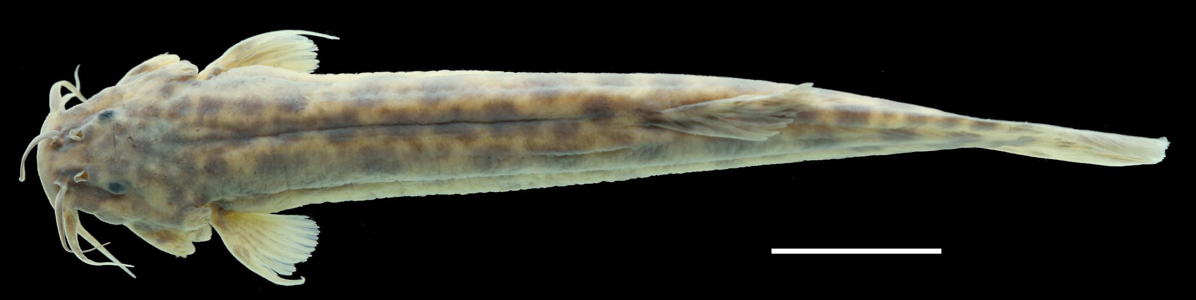 Paratípo de <em>Trichomycterus ocanaensis</em>, IAvH-P-11115_Dorsal, 57.2 mm SL (scale bar = 1 cm). Photograph by C. DoNascimiento