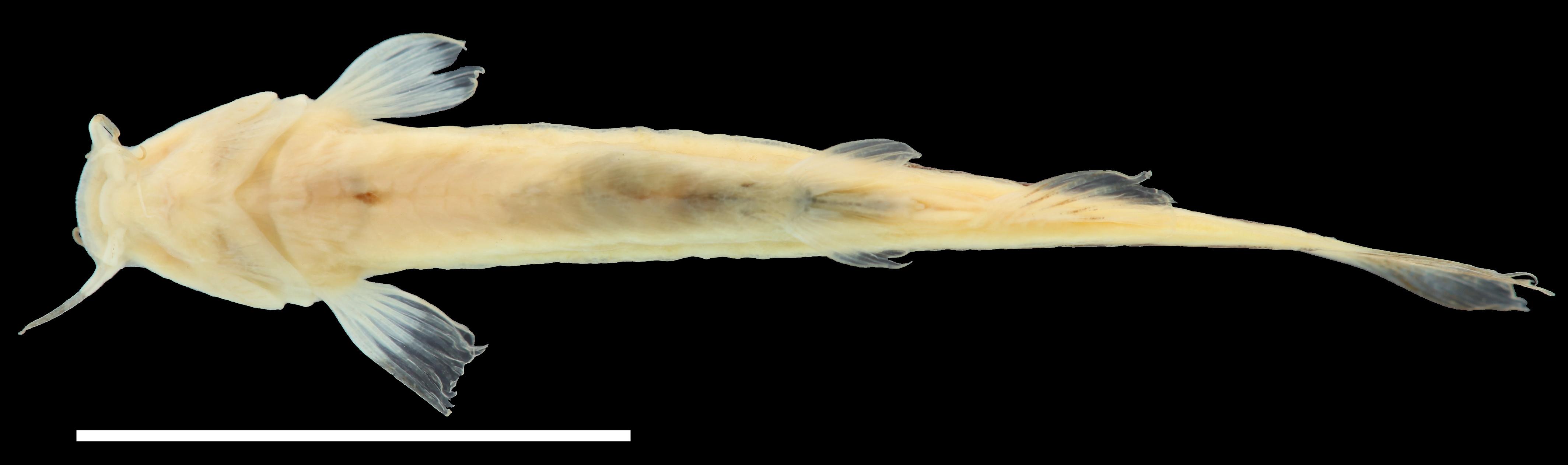 Paratípo de <em>Trichomycterus maldonadoi</em>, IAvH-P-11533_Ventral, 22.7 mm SL (scale bar = 1 cm). Photograph by C. DoNascimiento