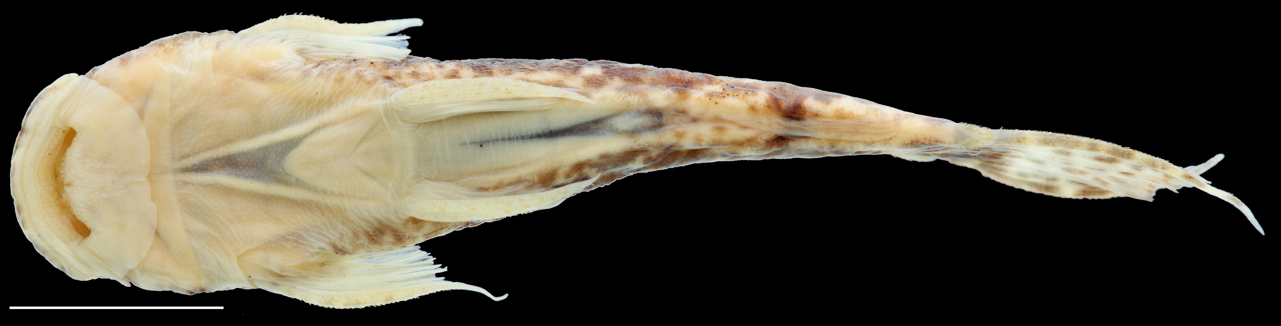 Paratípo de <em>Astroblepus putumayoensis</em>, IAvH-P-12708_Ventral, 43.6 mm SL (scale bar = 1 cm). Photograph by C. DoNascimiento