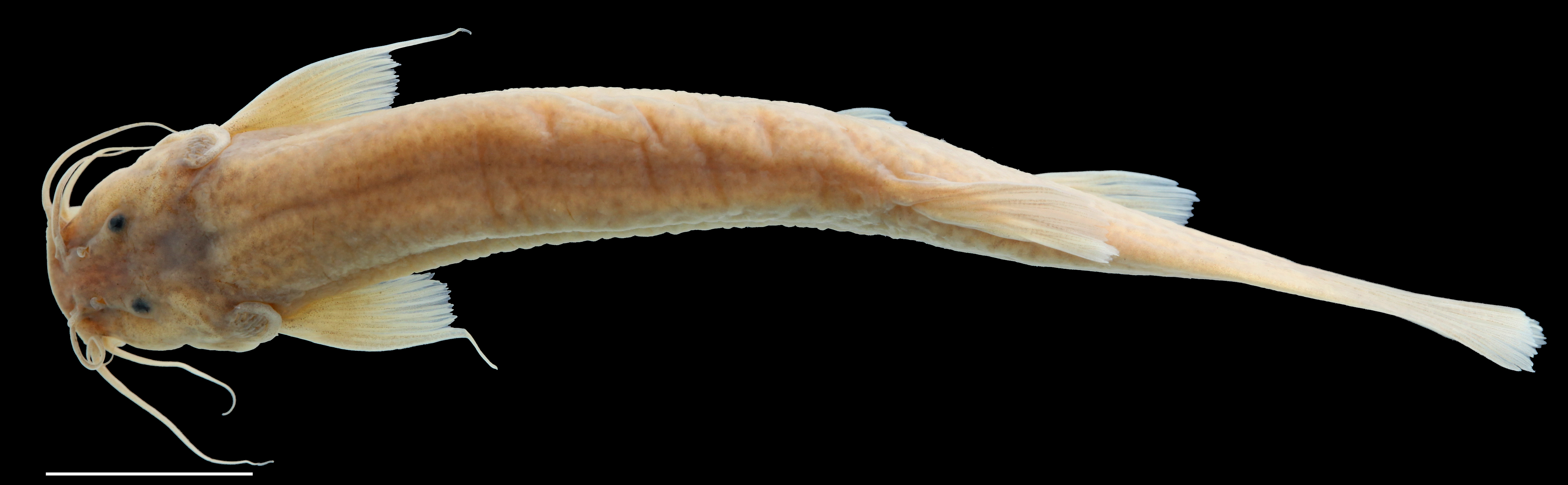 Paratípo de <em>Trichomycterus tetuanensis</em>, IAvH-P-12753_Dorsal, 67.6 mm SL (scale bar = 1 cm). Photograph by C. DoNascimiento.