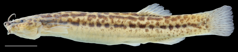 Paratípo de <em>Trichomycterus torcoromaensis</em>, IAvH-P-13422_Lateral, 62.2 mm SL (scale bar = 1 cm). Photograph by C. DoNascimiento
