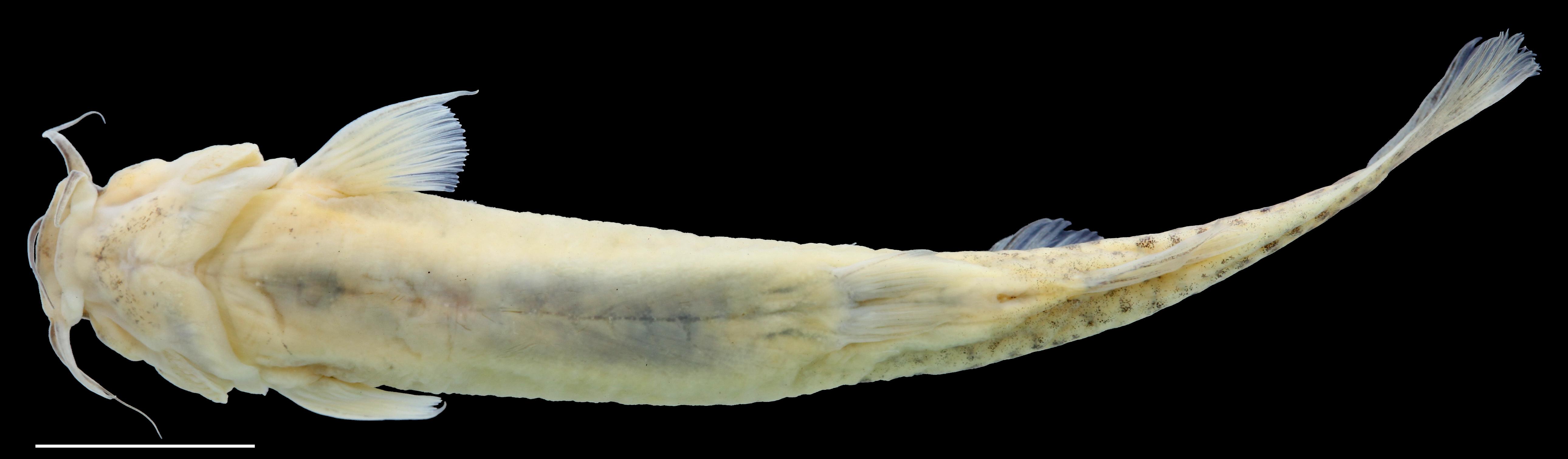Paratípo de <em>Trichomycterus torcoromaensis</em>, IAvH-P-13422_Ventral, 62.2 mm SL (scale bar = 1 cm). Photograph by C. DoNascimiento