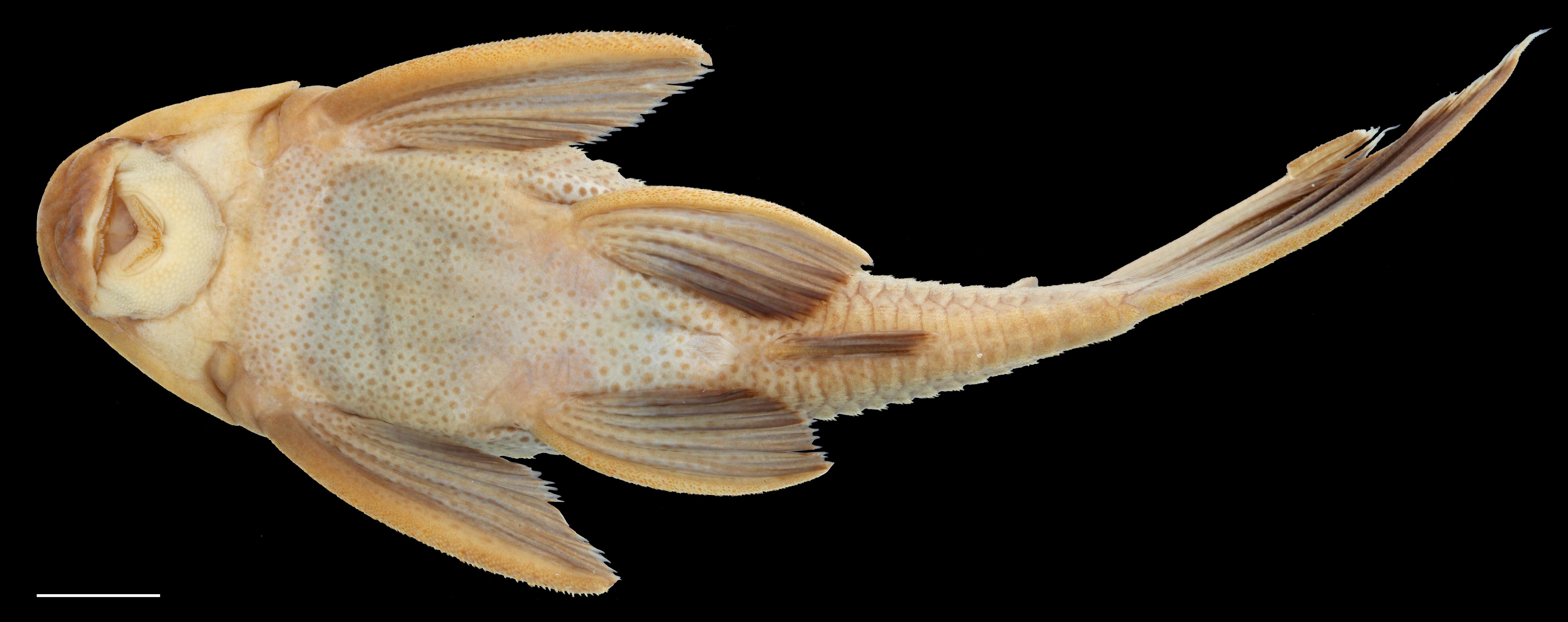 Paratípo de <em>Hypostomus rhantos</em>, IAvH-P-13958_Ventral, 87.7 mm SL (scale bar = 1 cm). Photograph by C. DoNascimiento