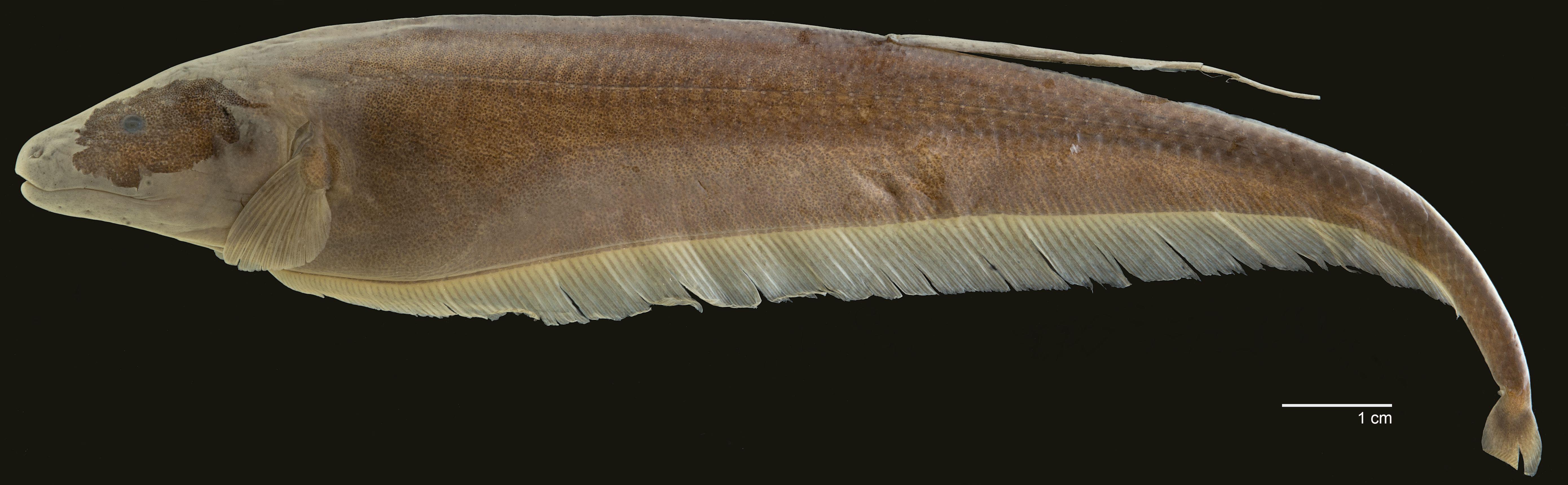 Holotípo de <em>Apteronotus milesi</em>, IAvH-P-3996_Lateral, 160.4 mm TL (scale bar = 1 cm). Photograph by S. J. Raredon