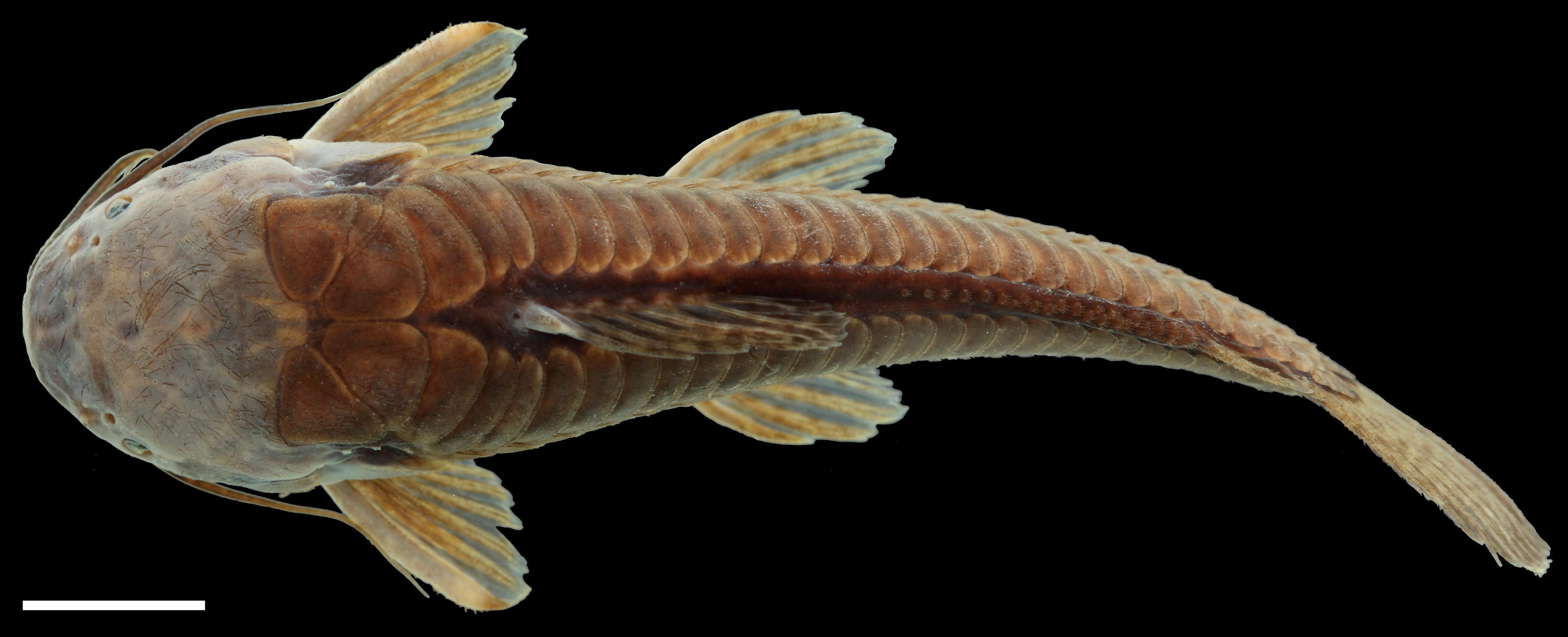 Paratípo de <em>Callichthys oibaensis</em>, IAvH-P-5730_Dorsal, 72.8 mm SL (scale bar = 1 cm). Photograph by C. DoNascimiento